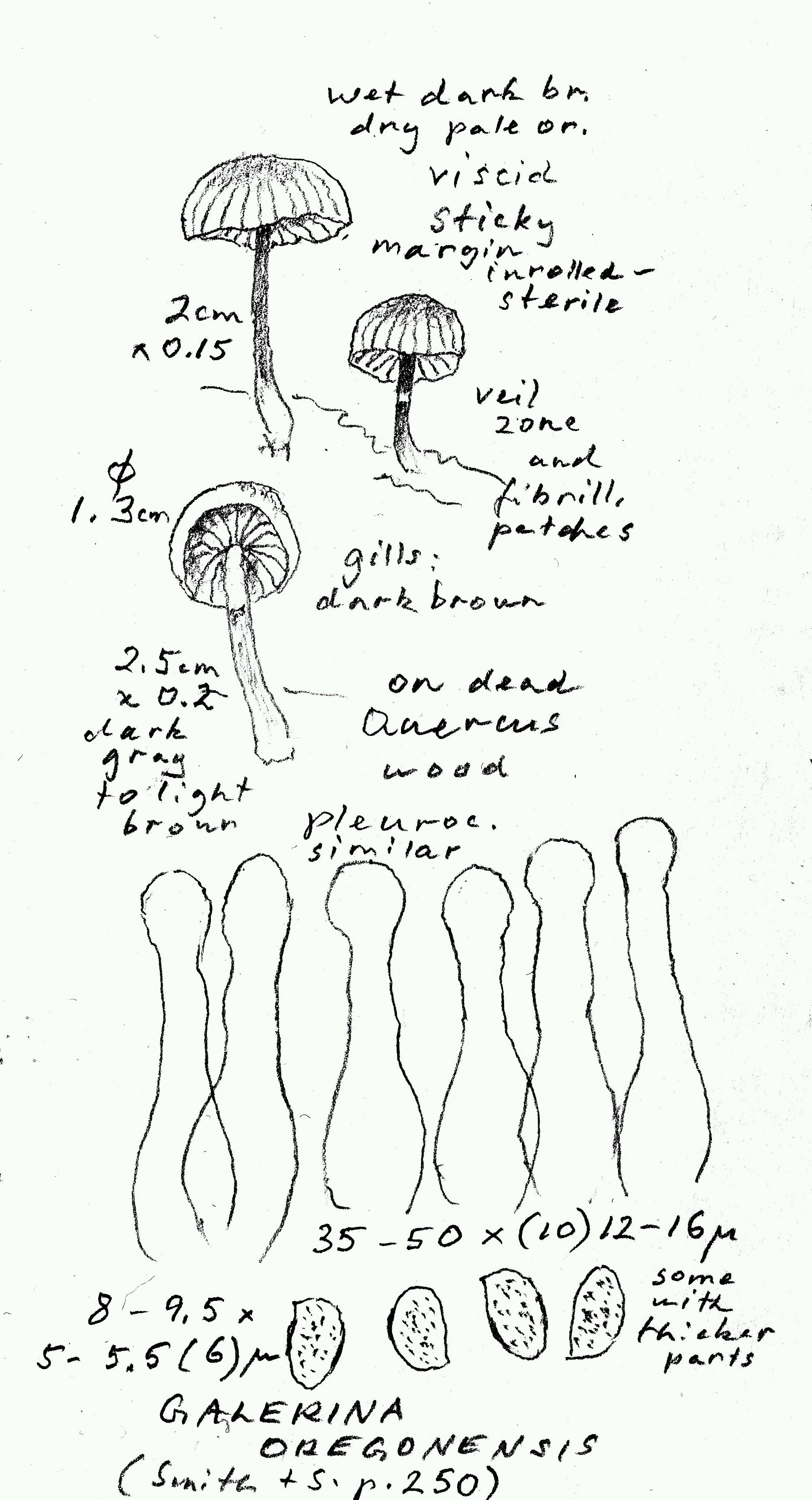Galerina oregonensis image
