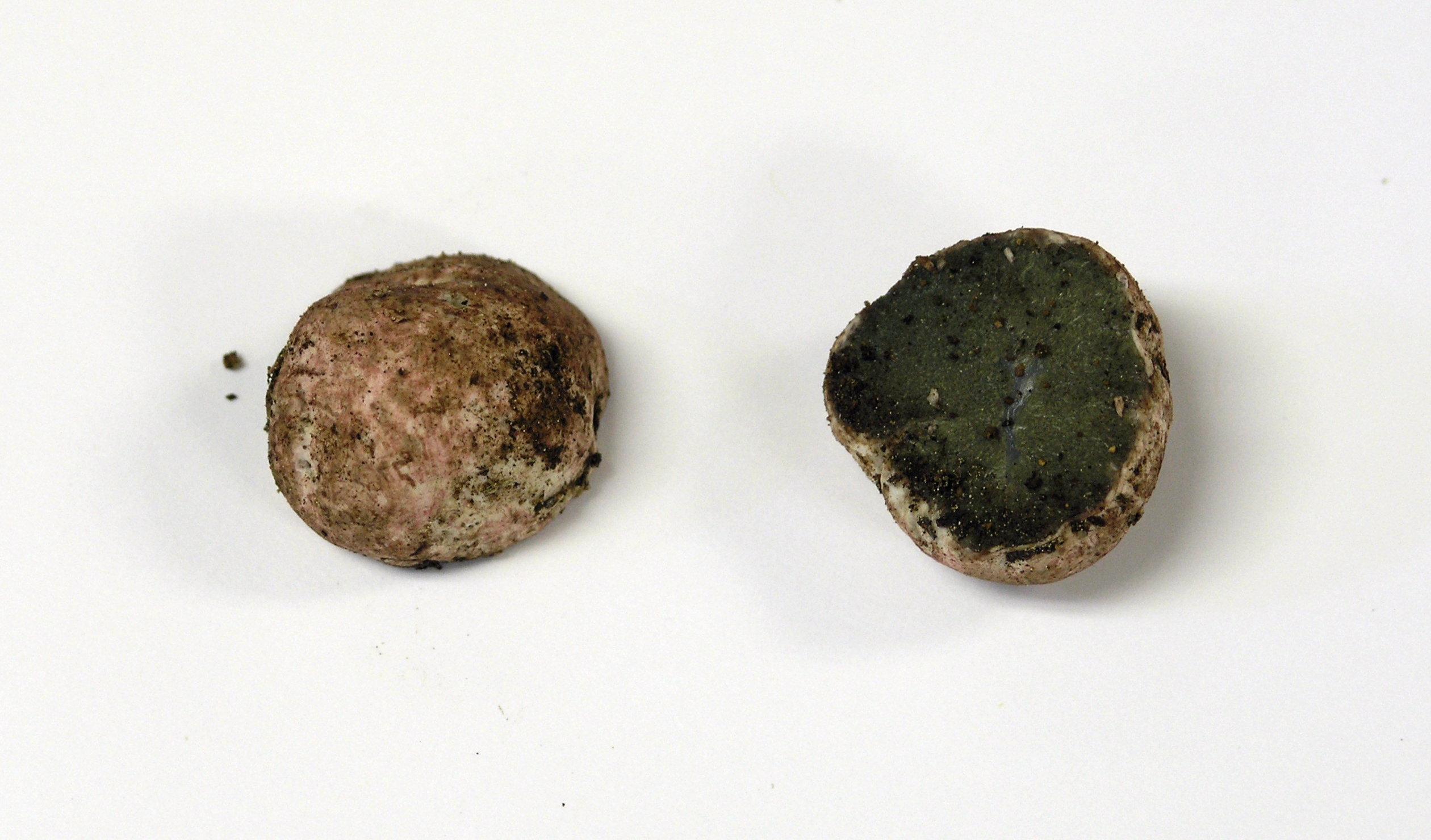 Hysterangium coriaceum image