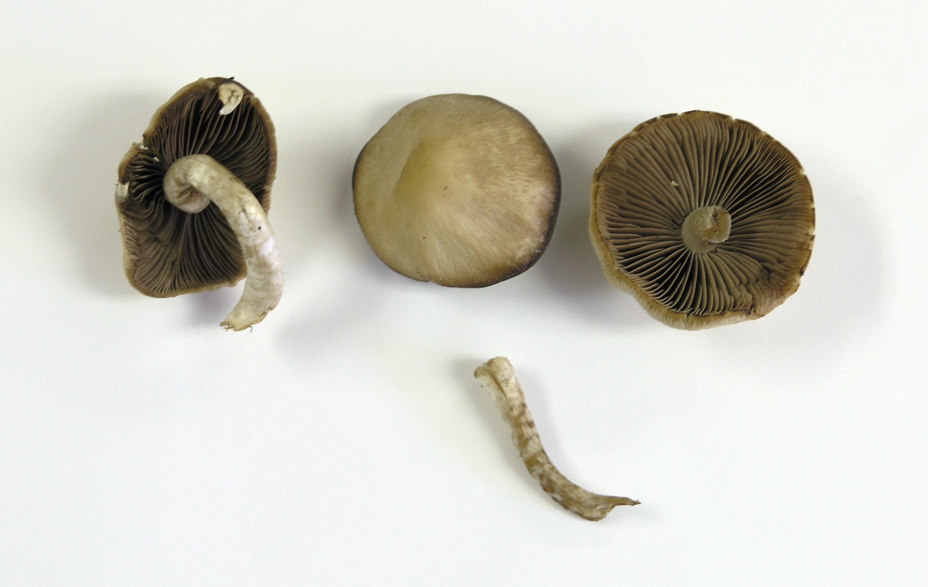 Psathyrella ellenae image