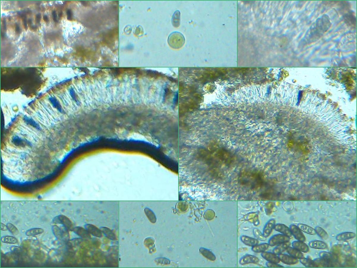 Physcia leptalea image