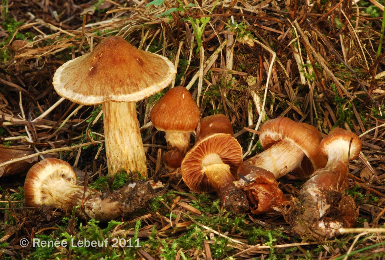 Cortinarius hinnuleus image