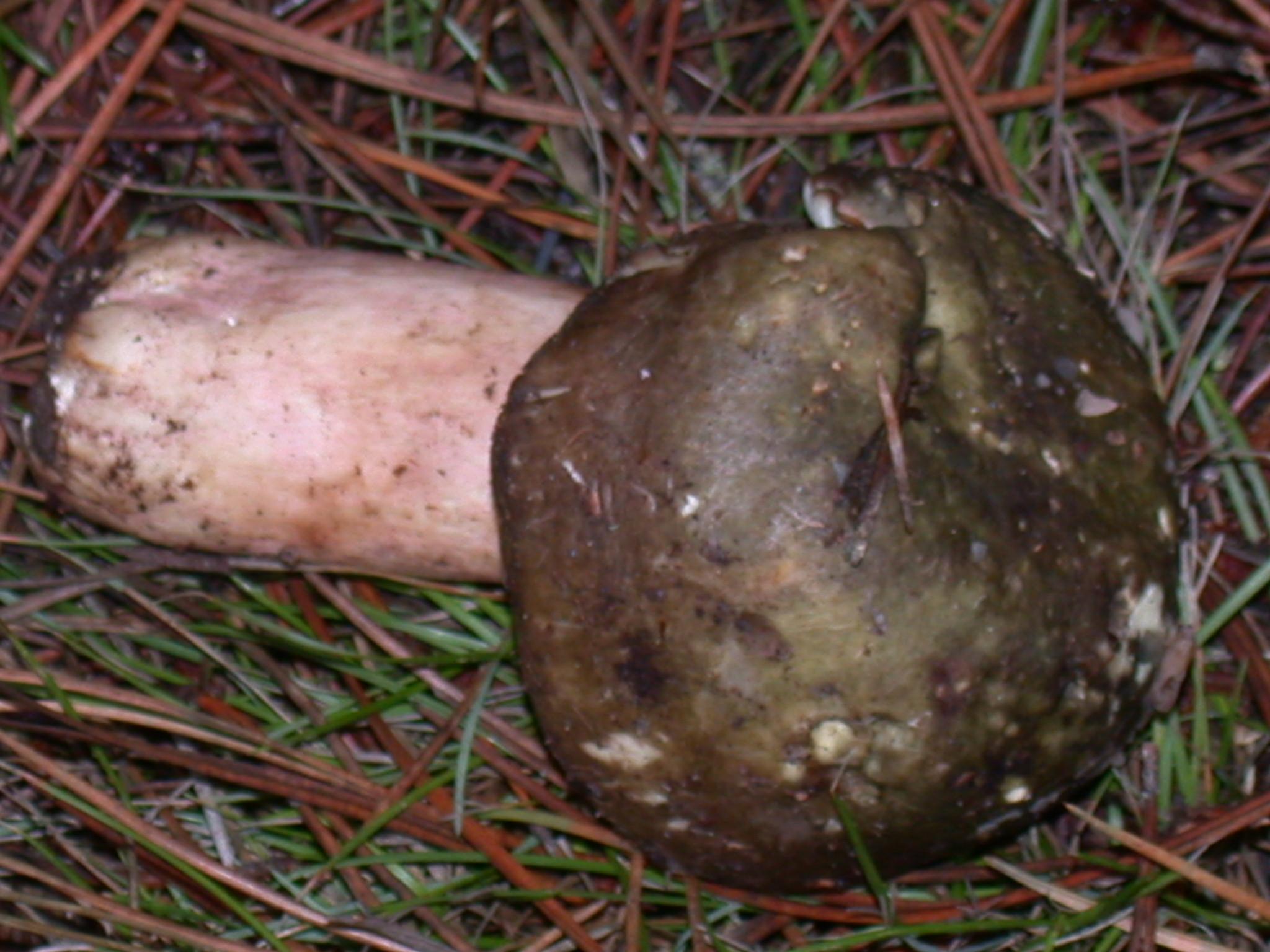 Russula pseudo-olivascens image