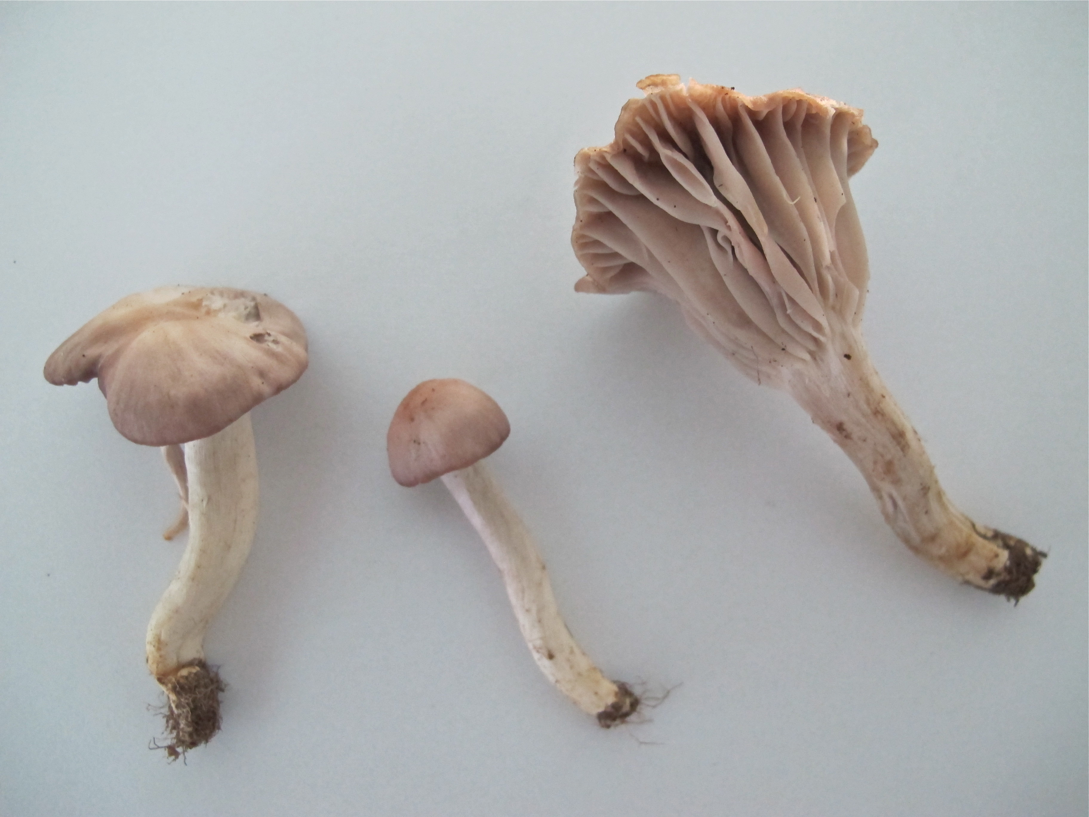 Hygrocybe flavipes image