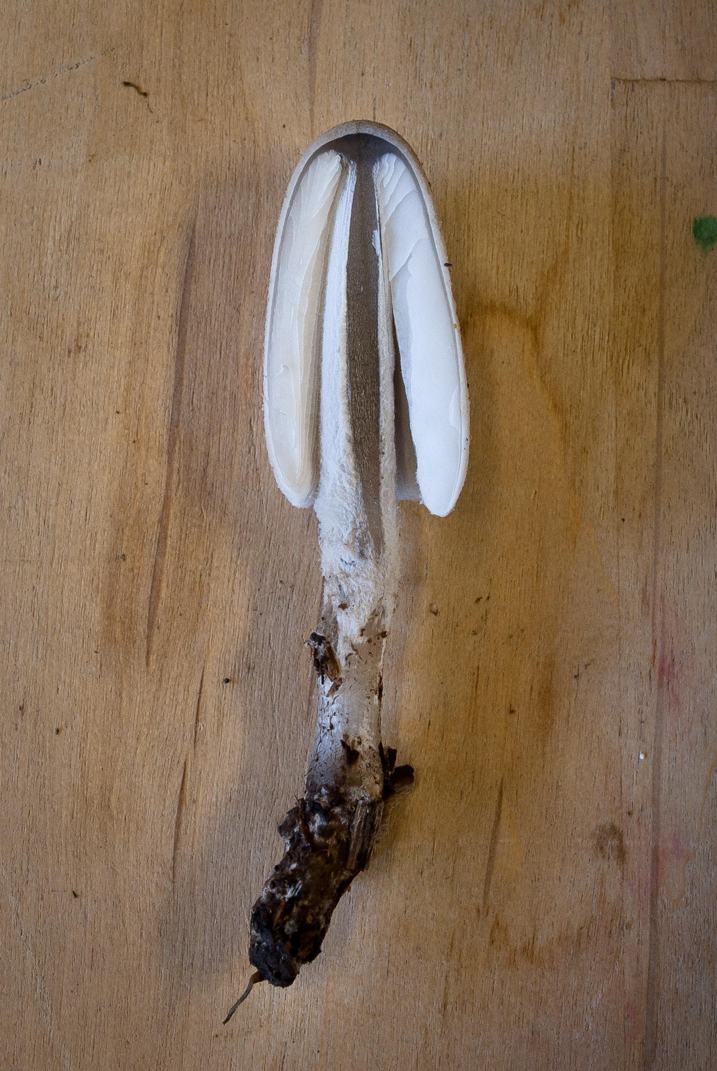 Coprinopsis semitalis image
