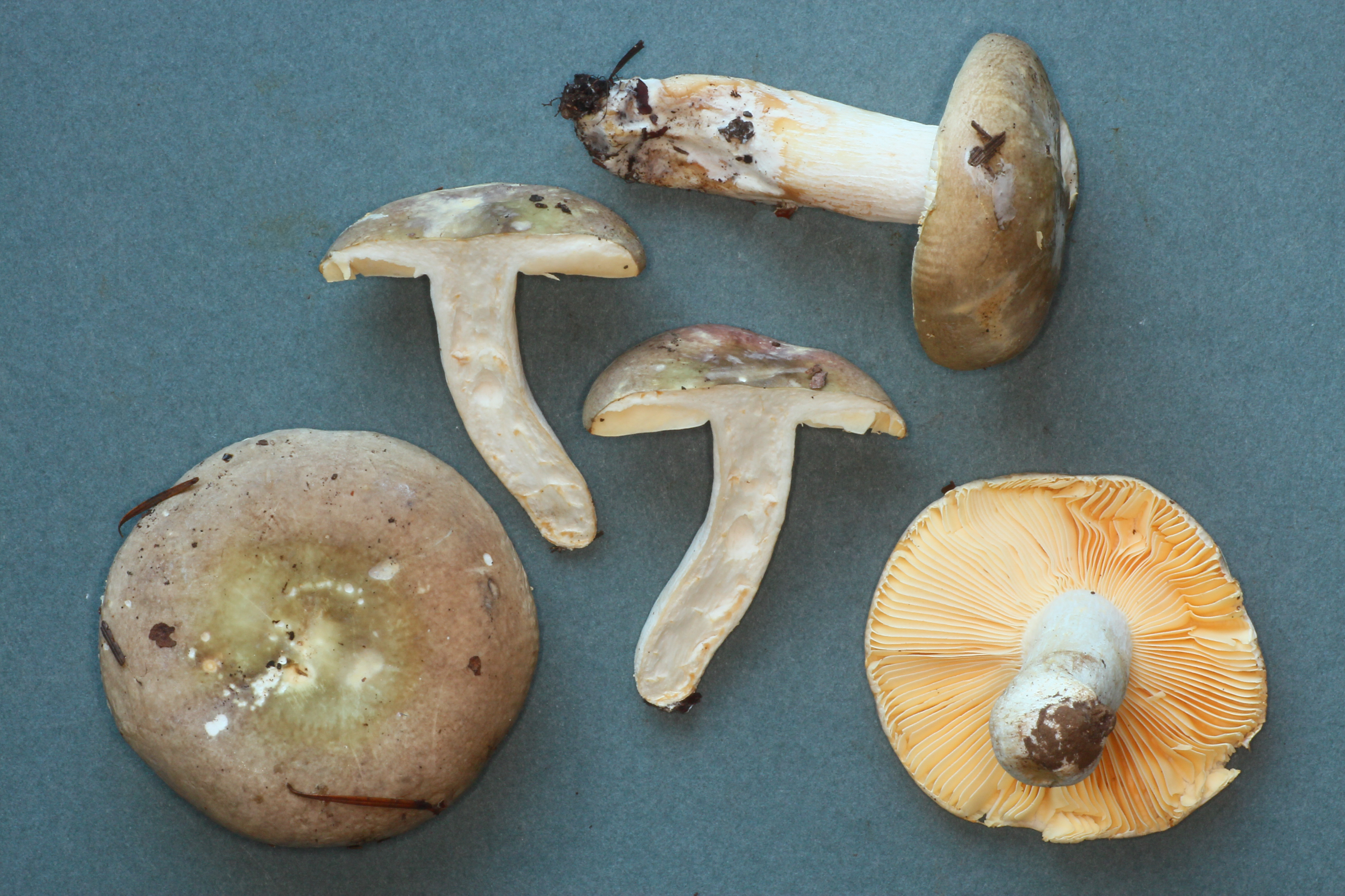 Russula abietina image