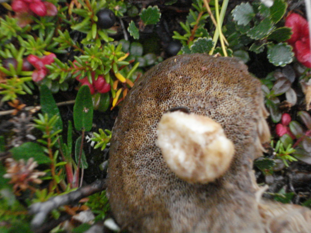 Leccinum rotundifoliae image