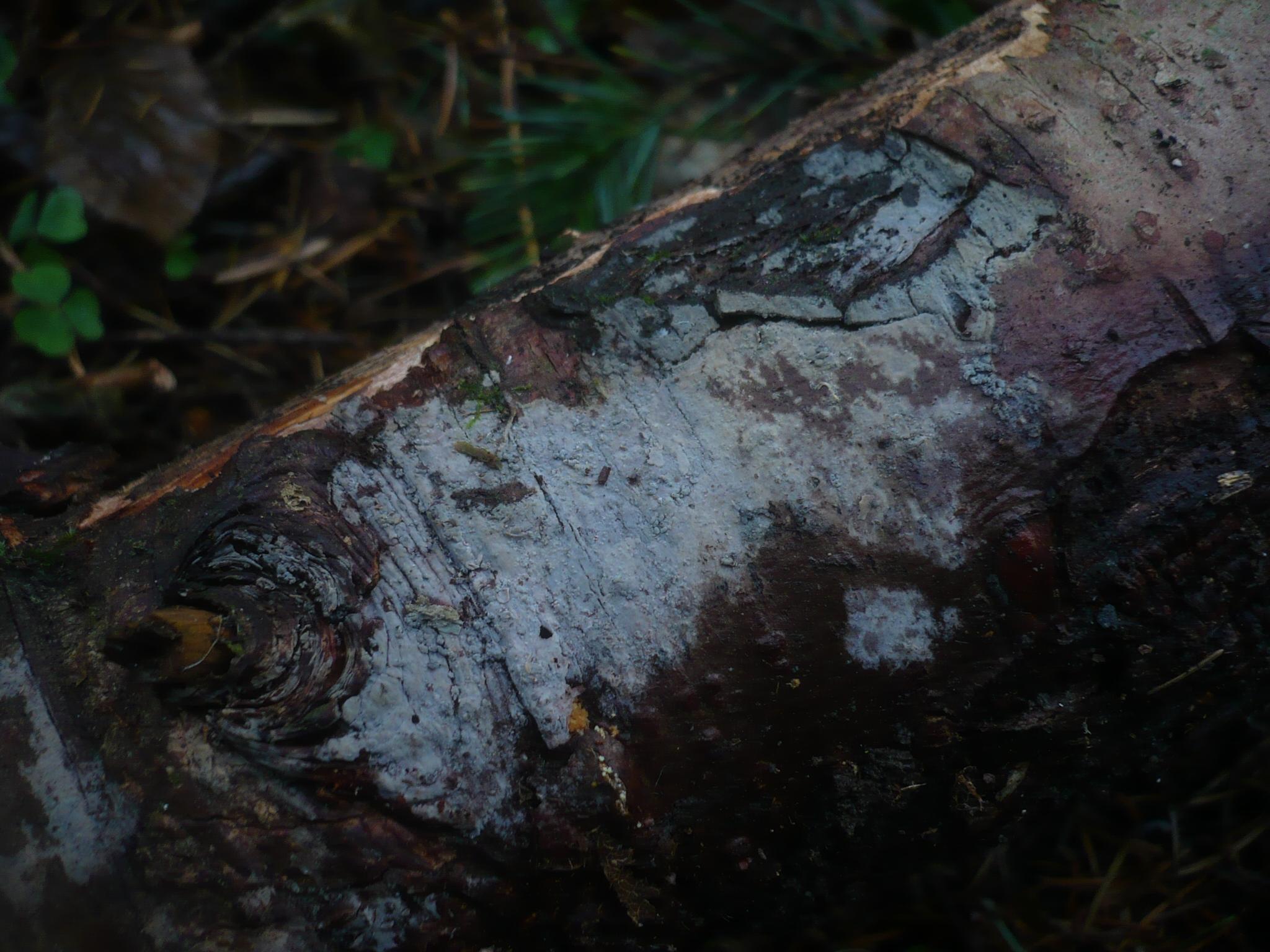 Pseudoxenasma verrucisporum image