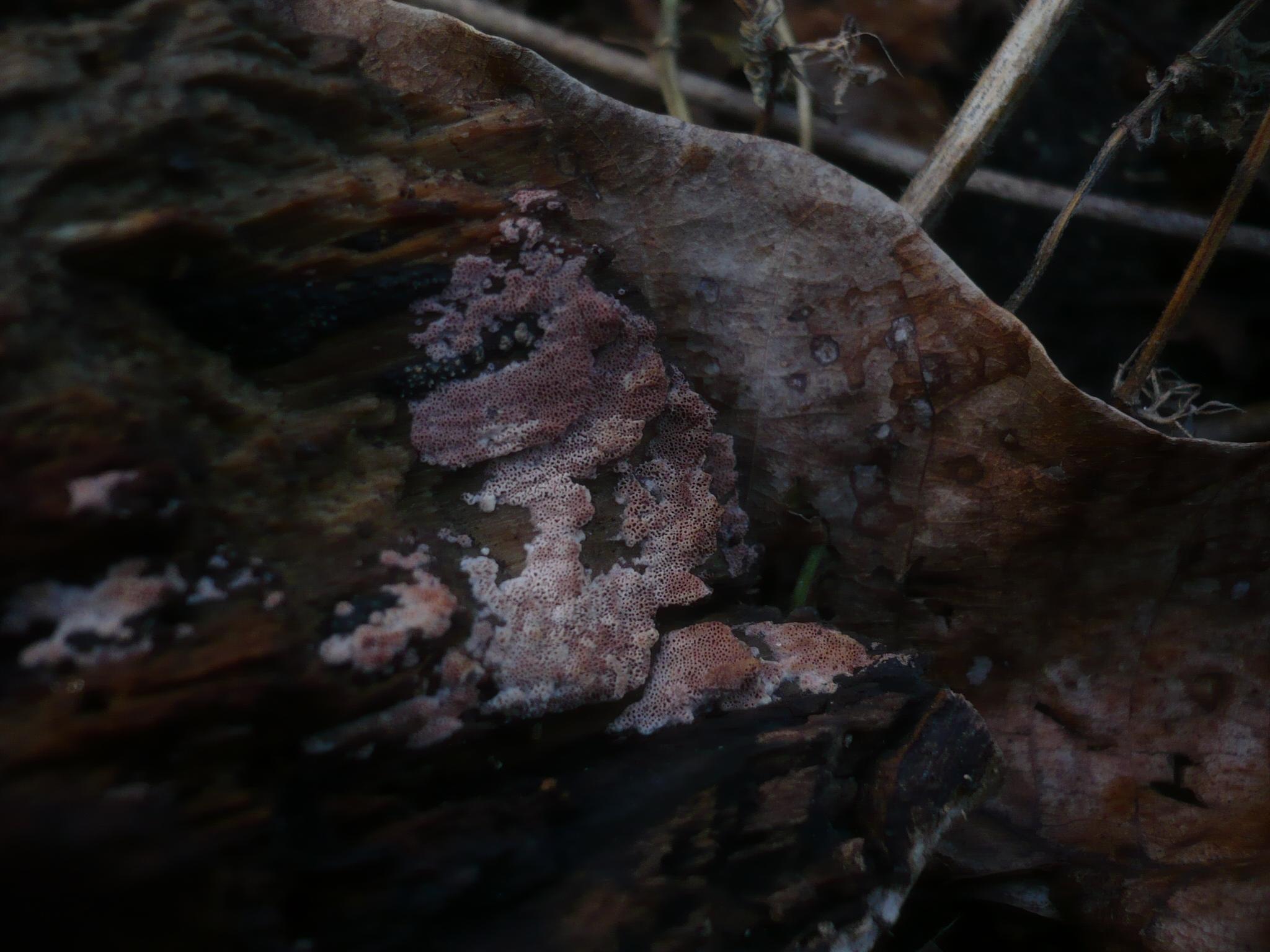 Ceriporia purpurea image