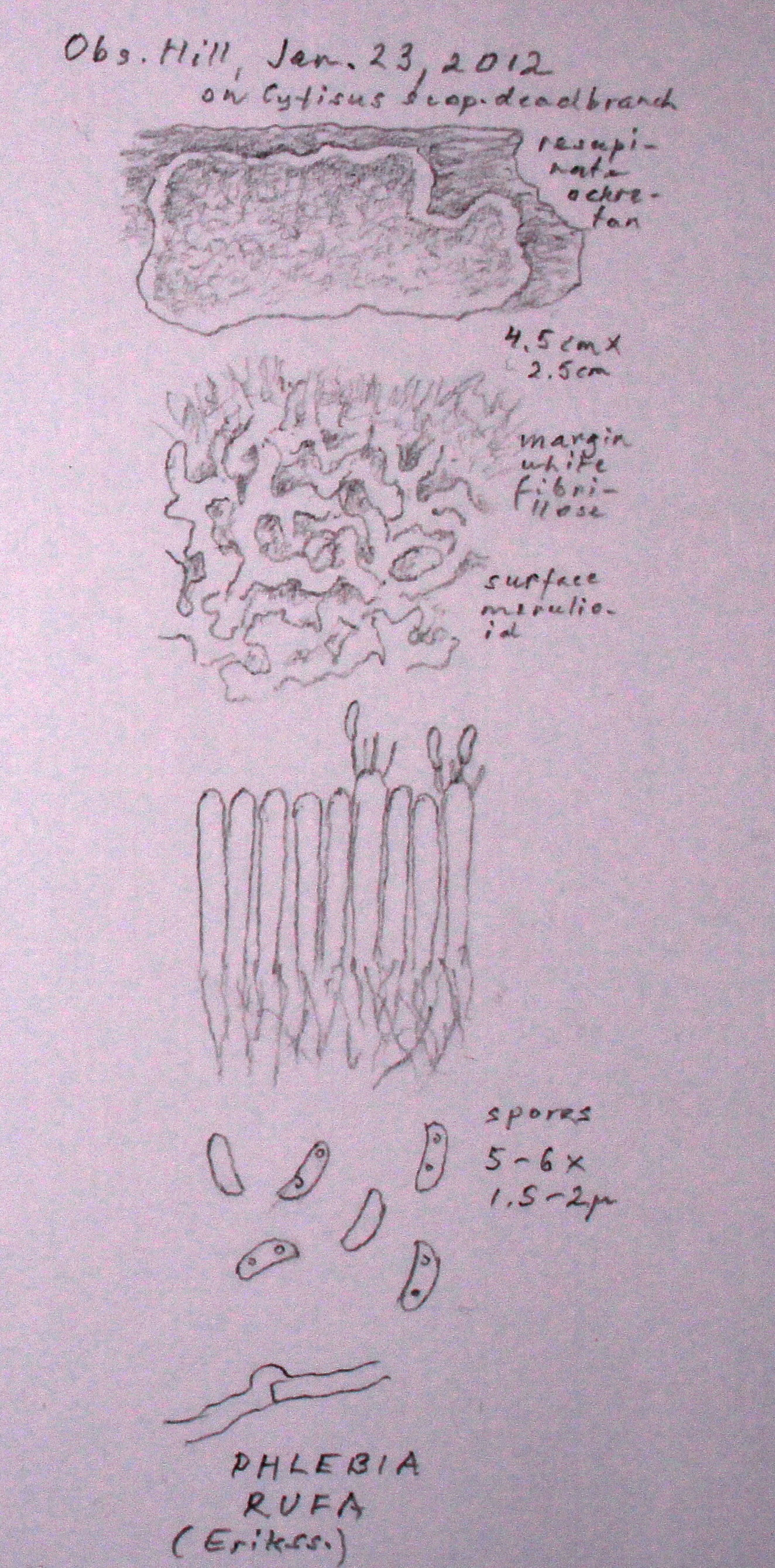 Phlebia rufa image