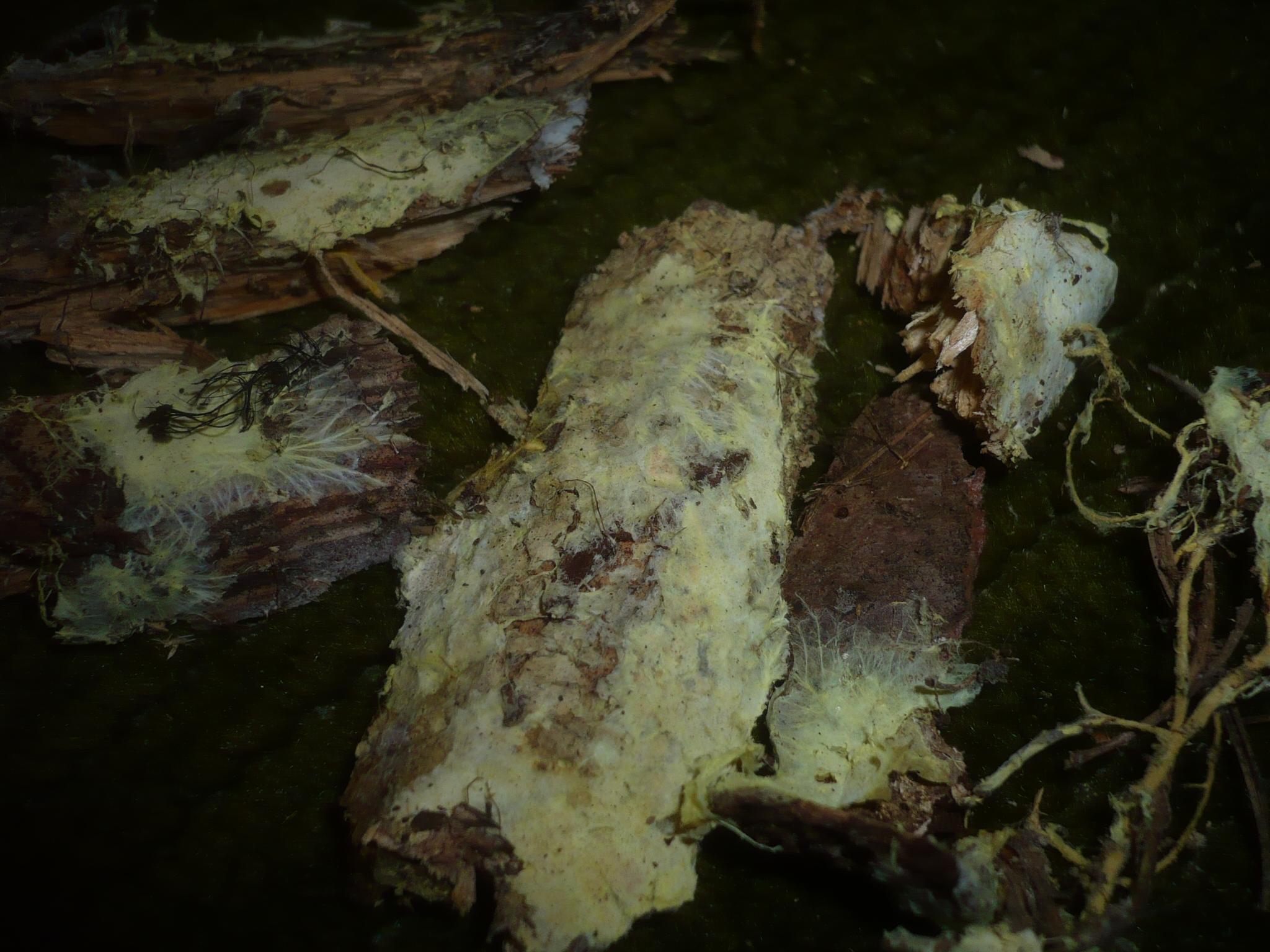 Ceraceomyces sulphurinus image