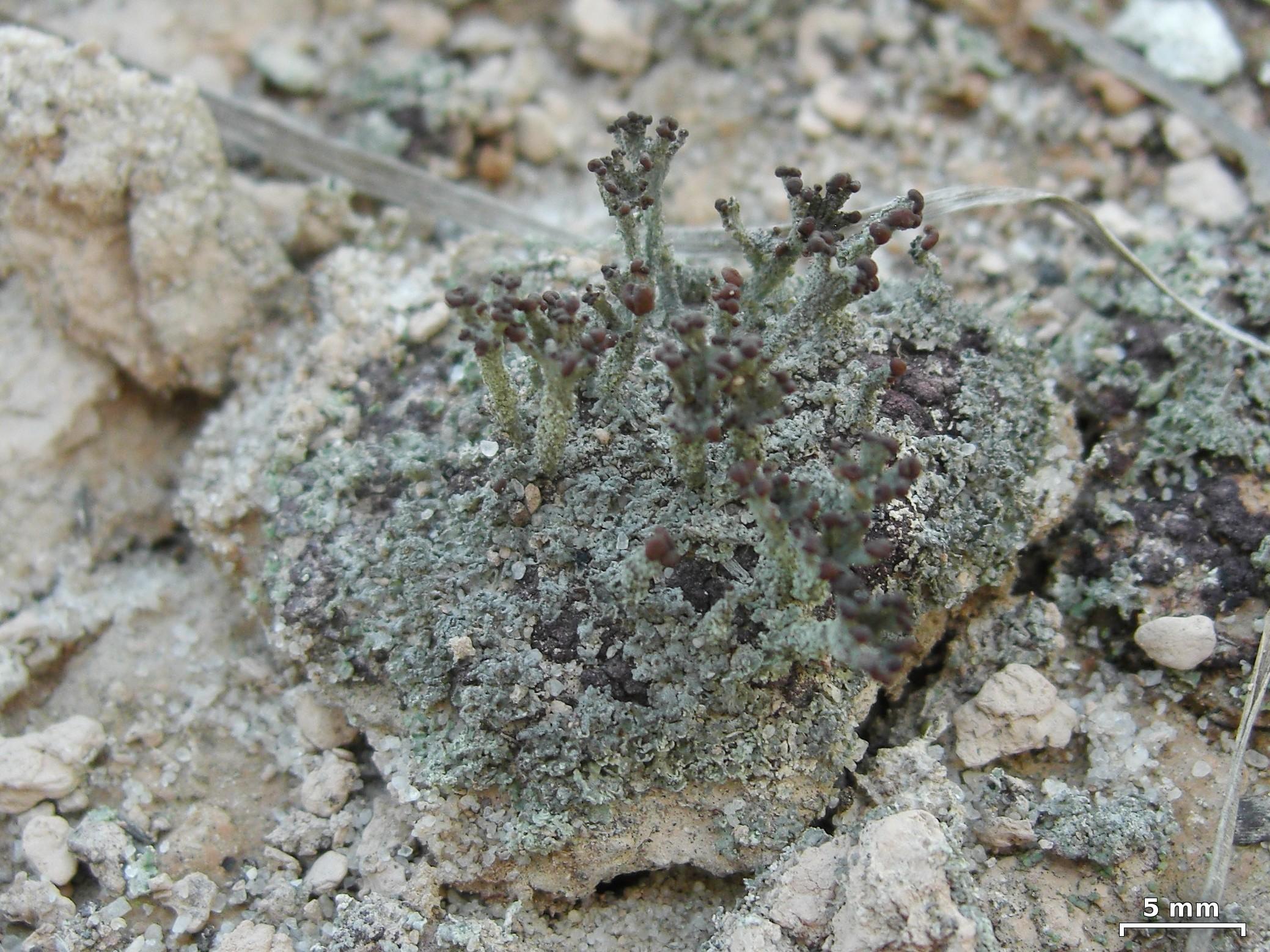 Cladonia simulata image
