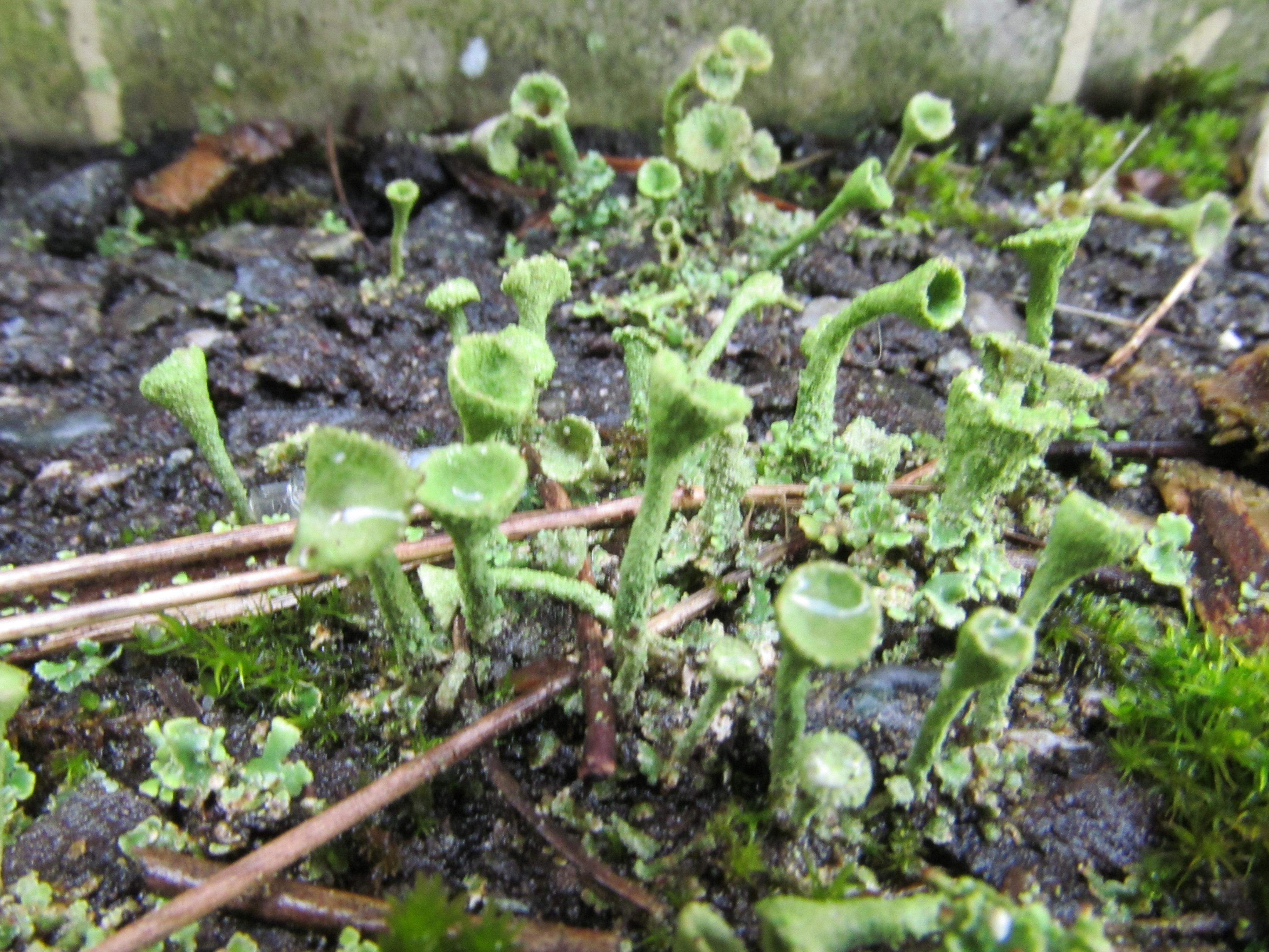 Cladonia carneola image