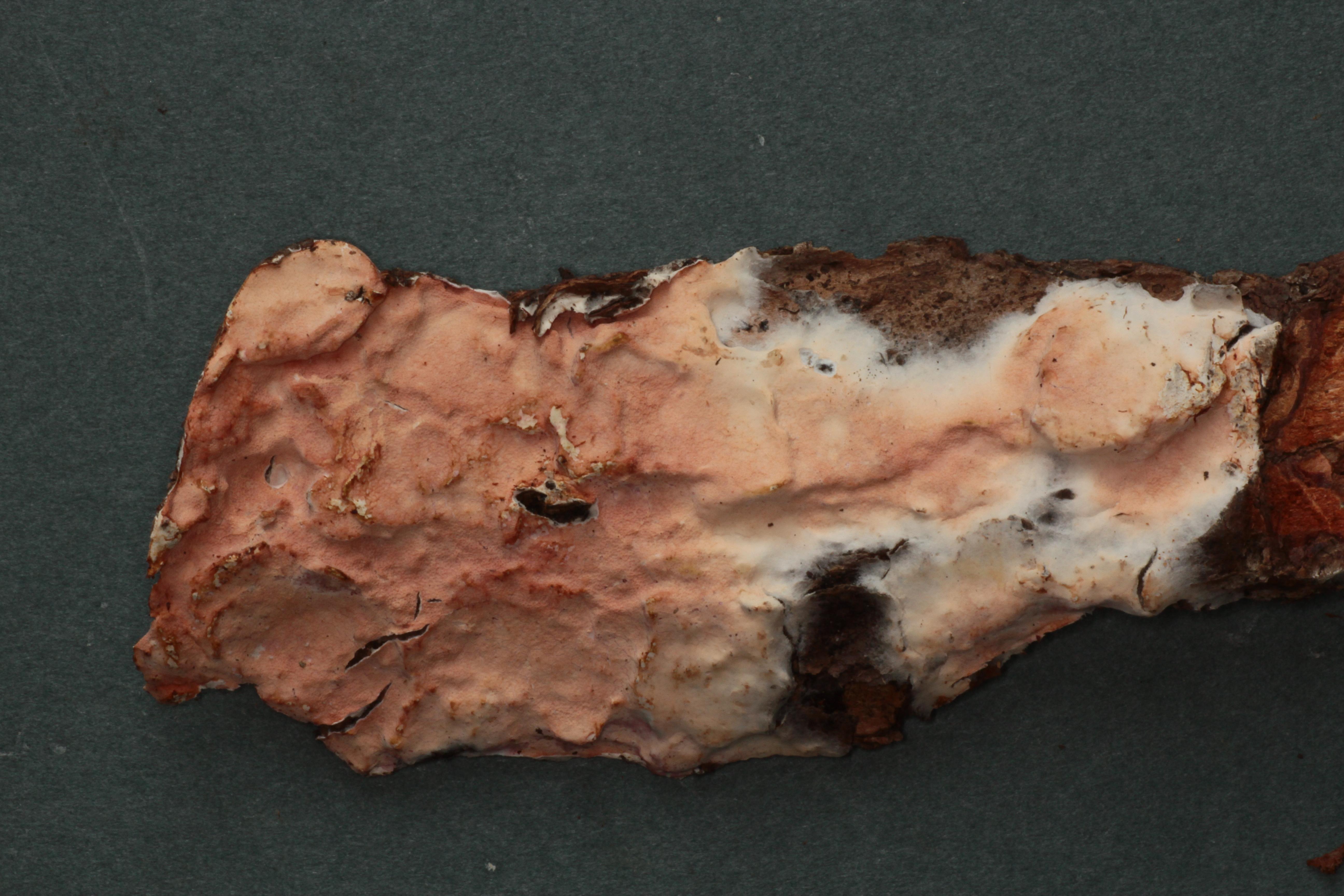 Ceraceomerulius rubicundus image