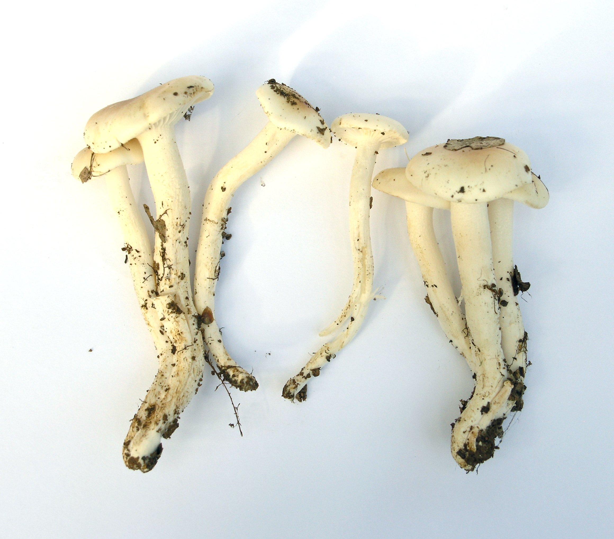 Hygrocybe brunnea image