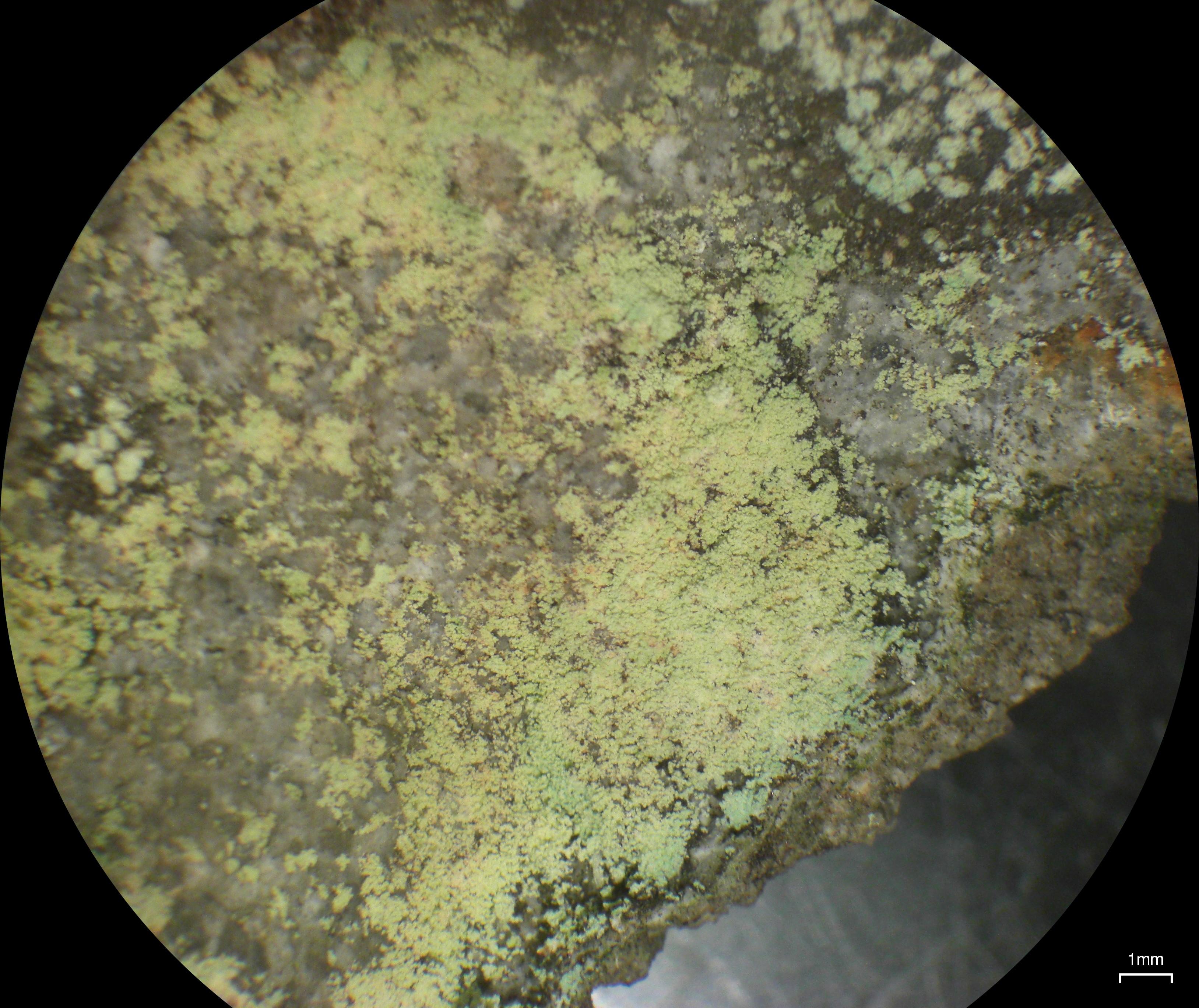 Lepraria ecorticata image