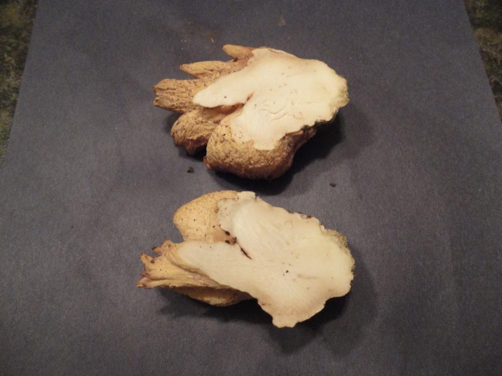 Underwoodia image