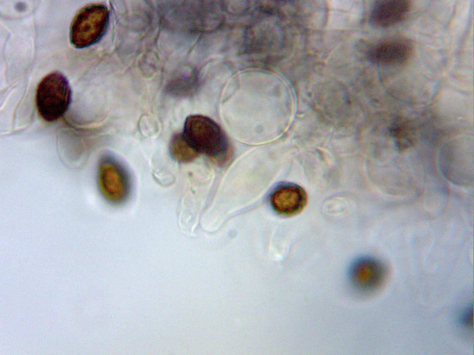 Panaeolina castaneifolia image