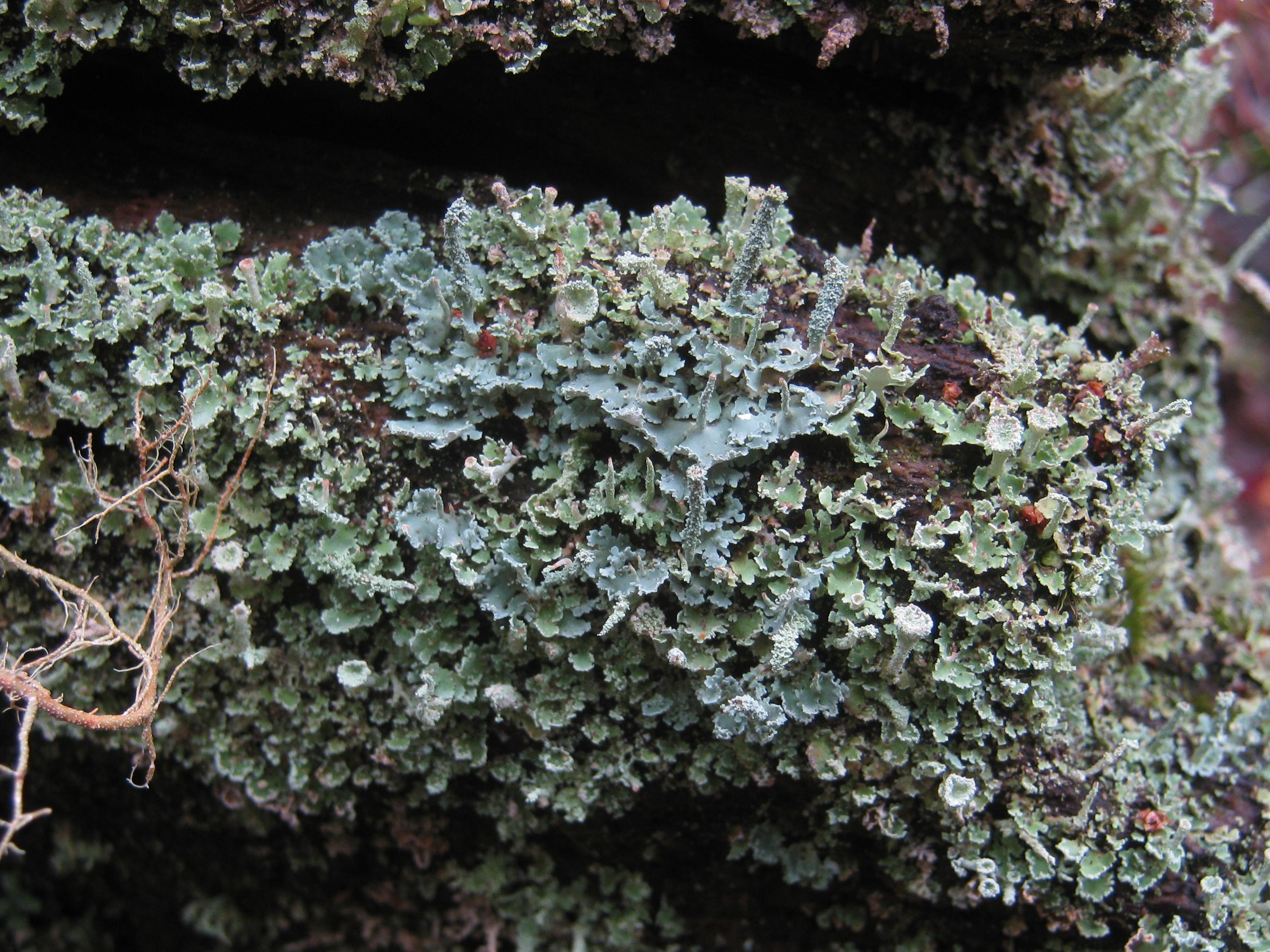Cladonia polydactyla image