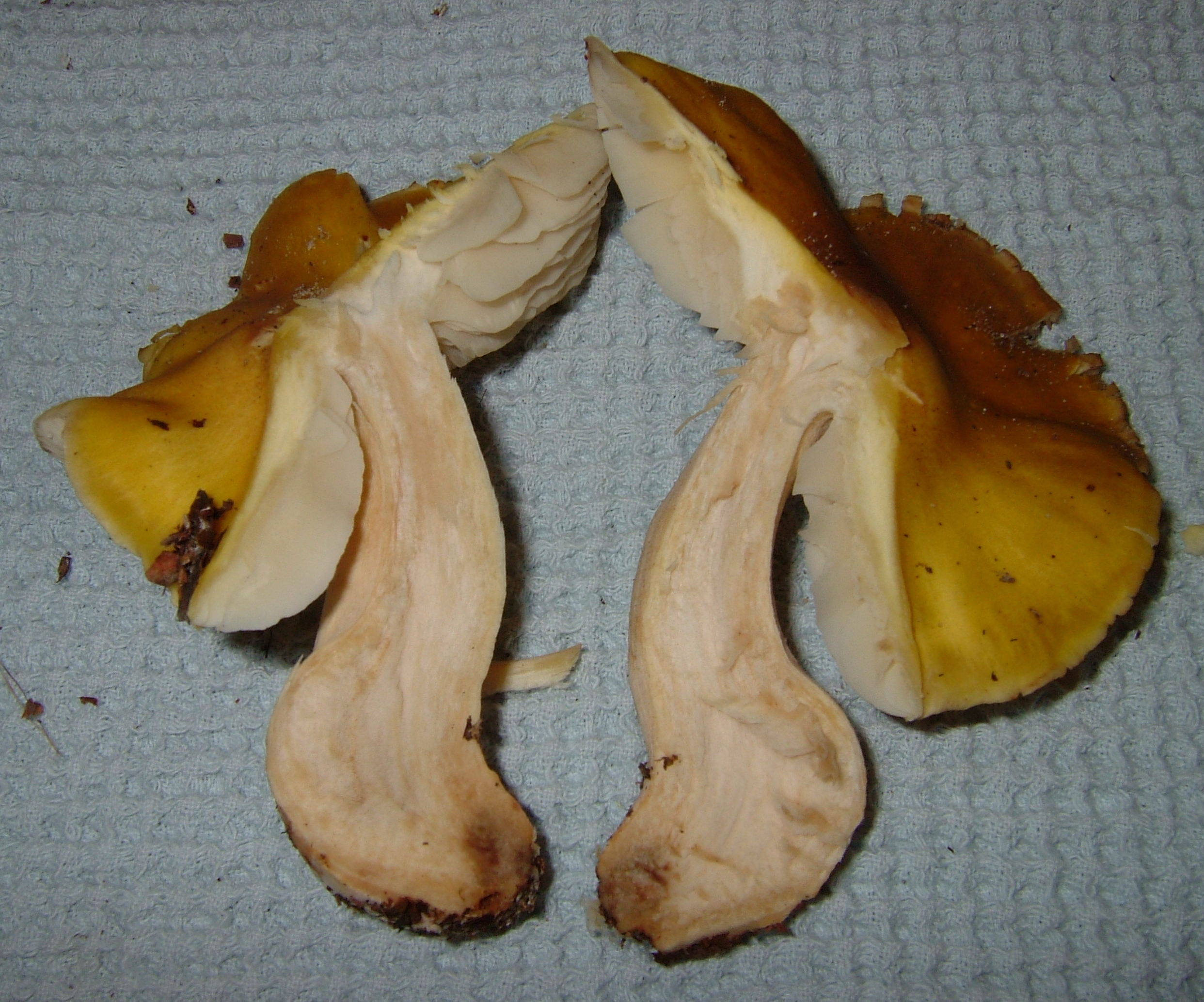 Tricholoma fumosoluteum image