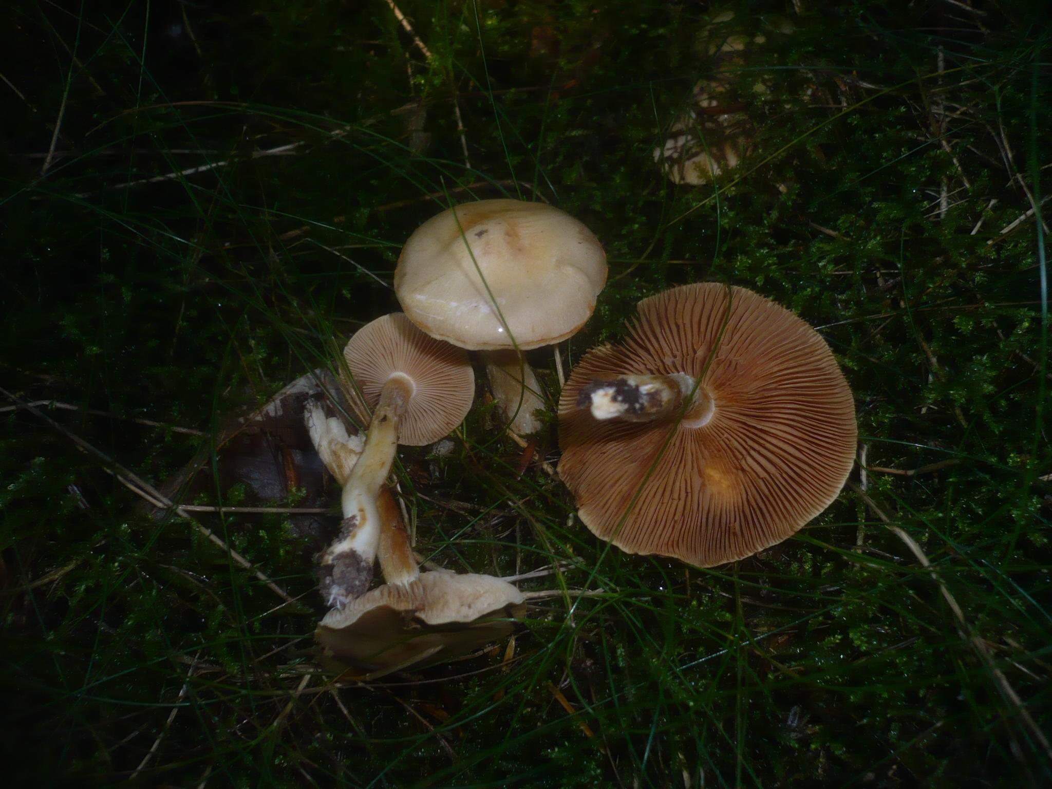 Cortinarius microspermus image