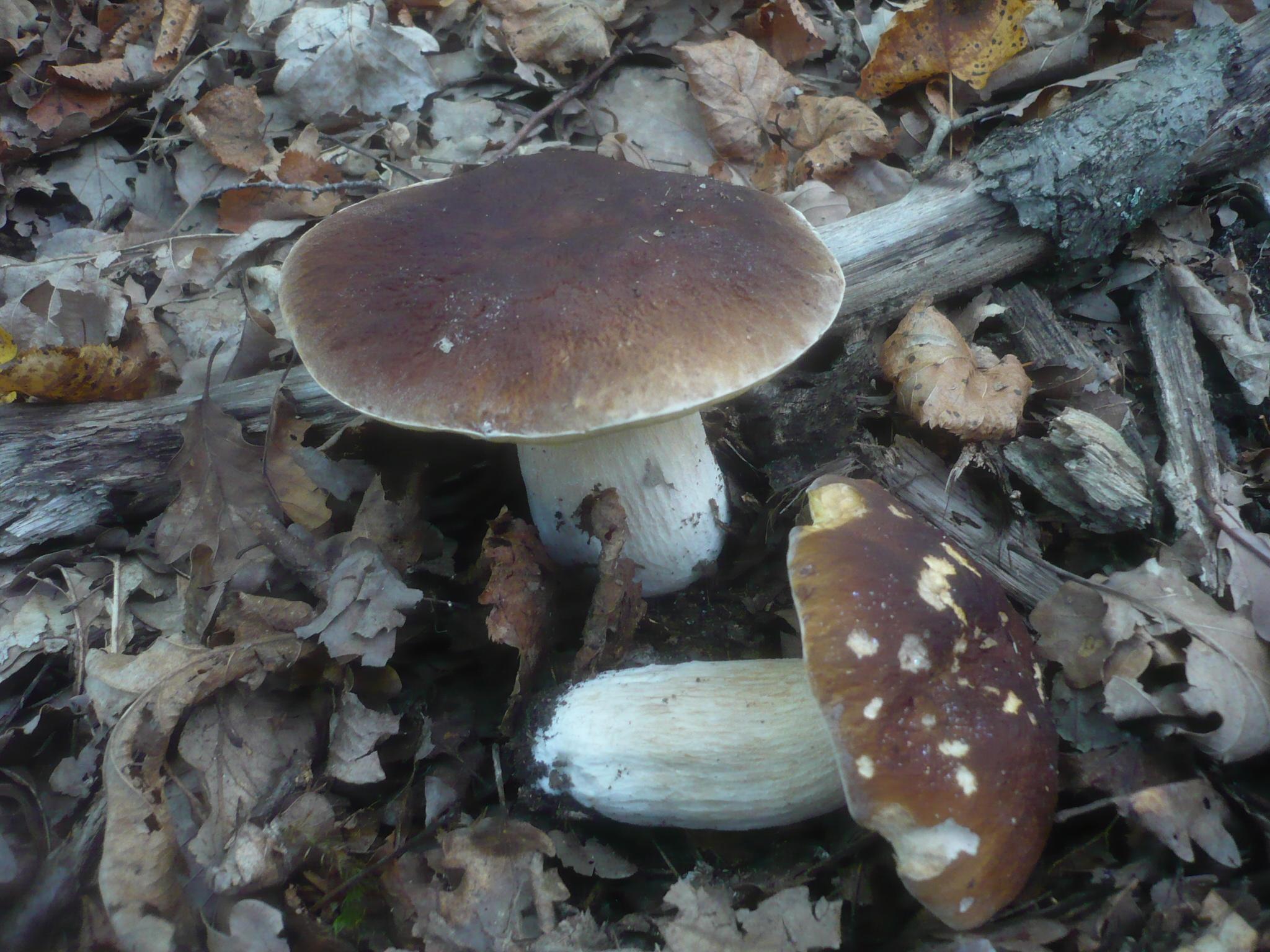 Boletus quercicola image