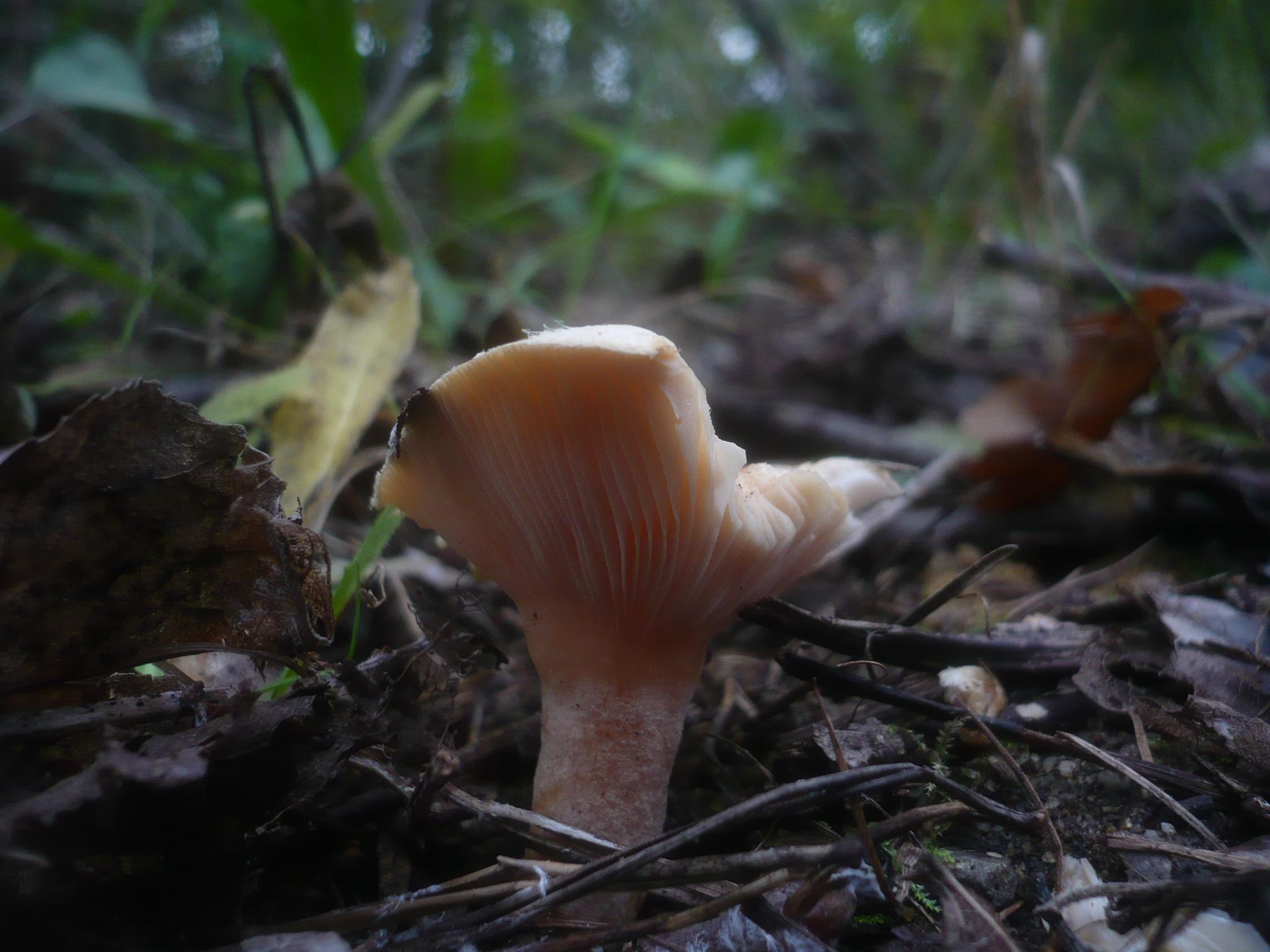 Lactarius scoticus image