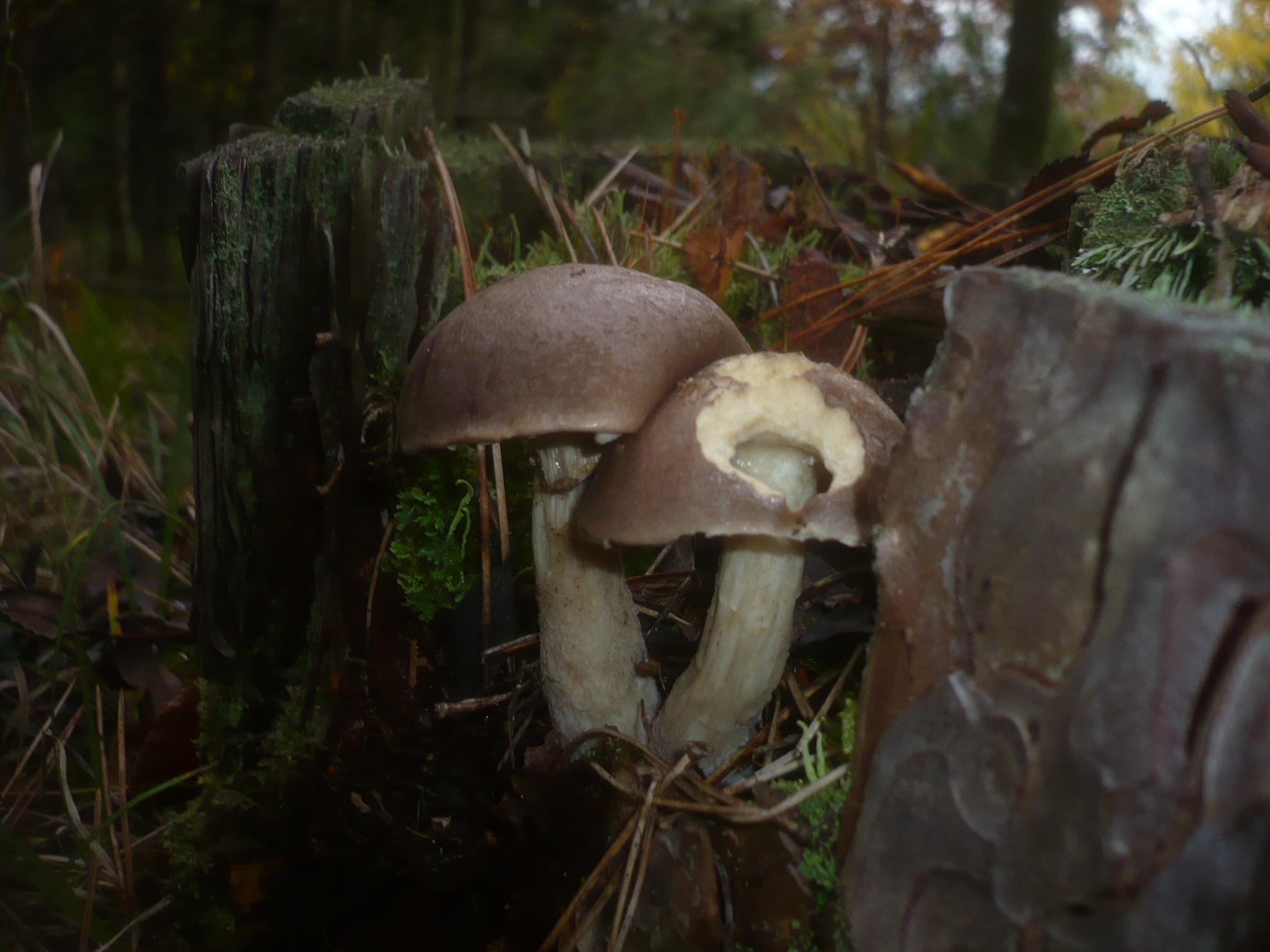 Leccinum brunneogriseolum image
