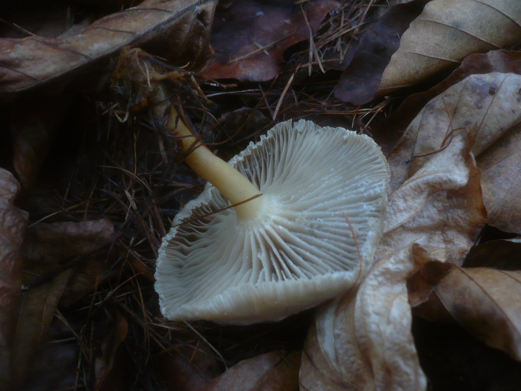 Clitocybe subspadicea image