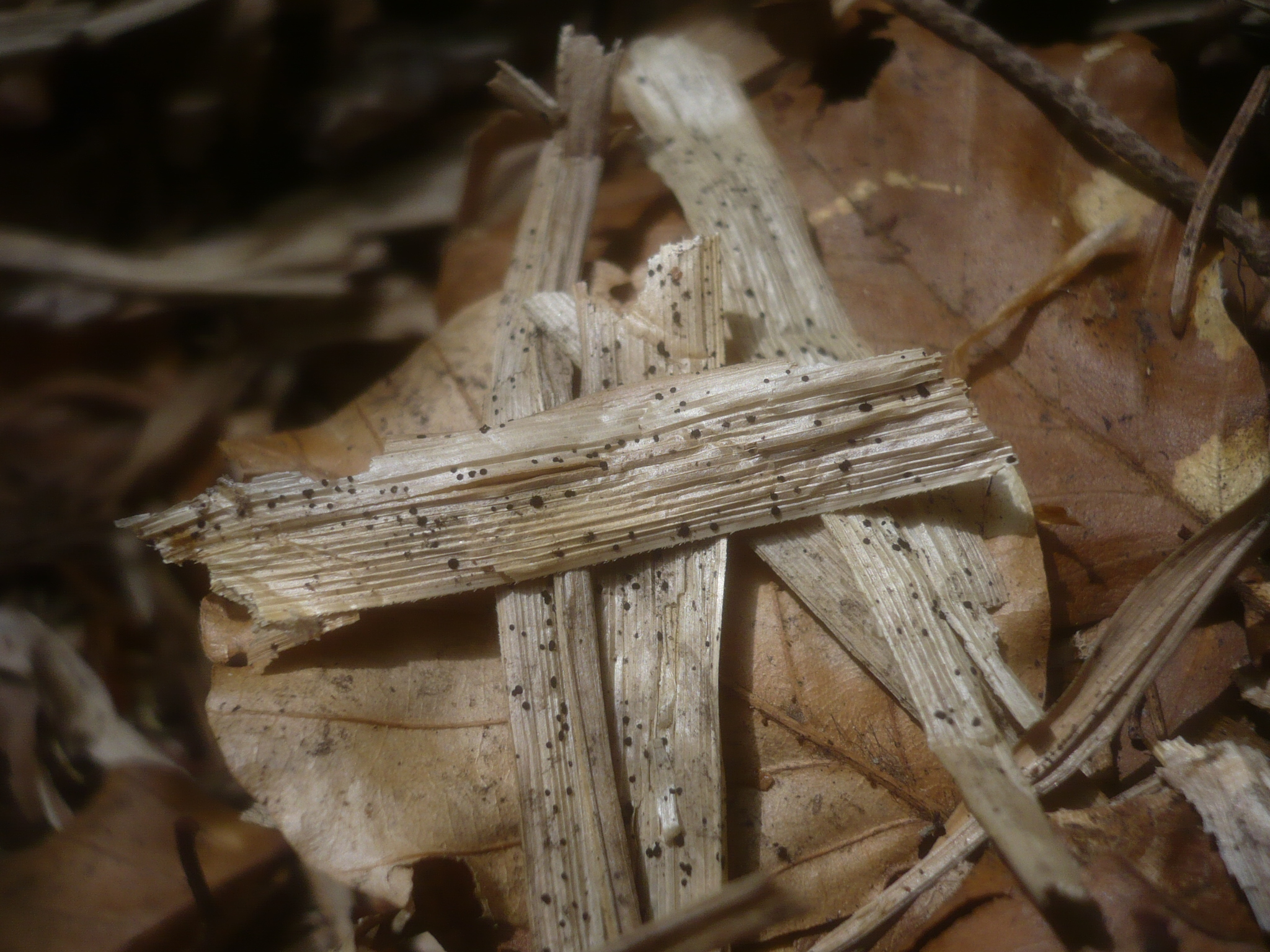 Anthostomella caricis image