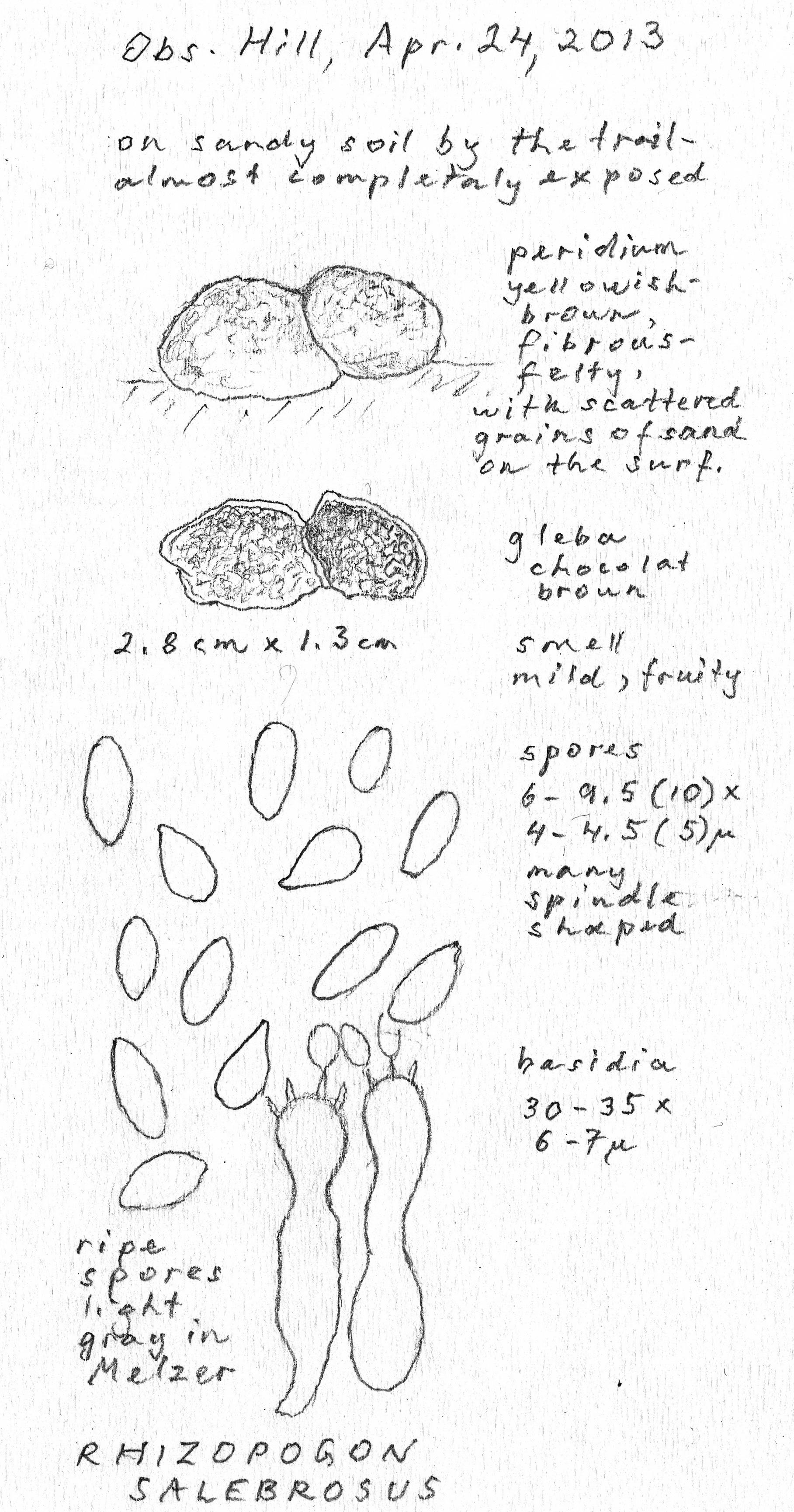 Rhizopogon salebrosus image