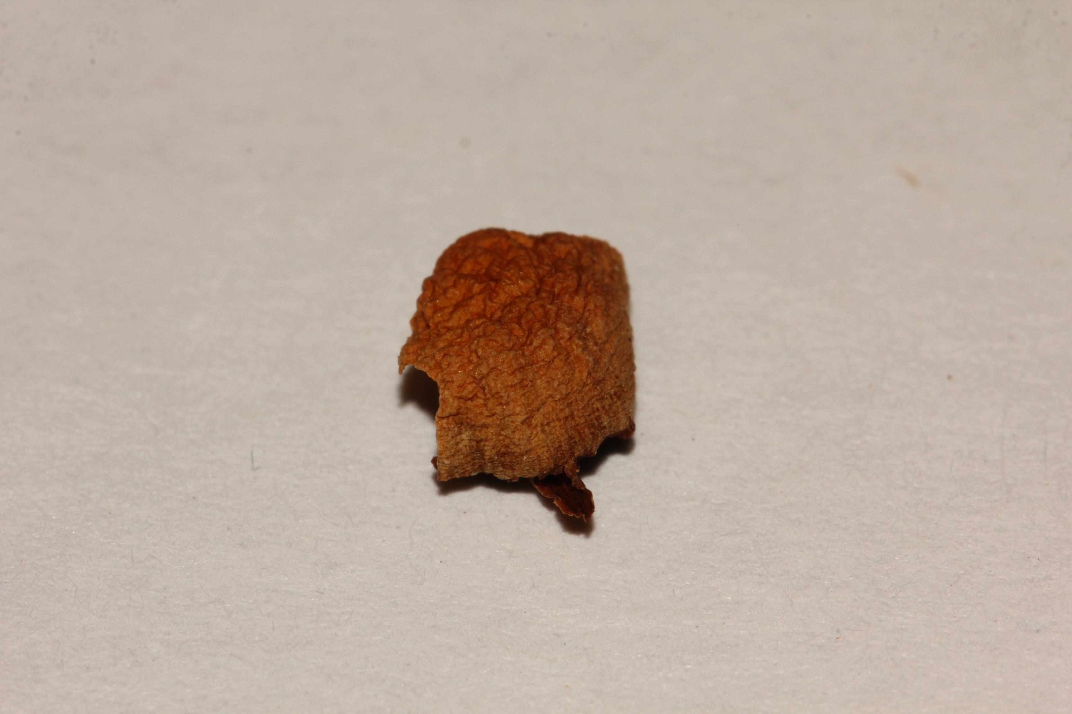 Psilocybe washingtonensis image