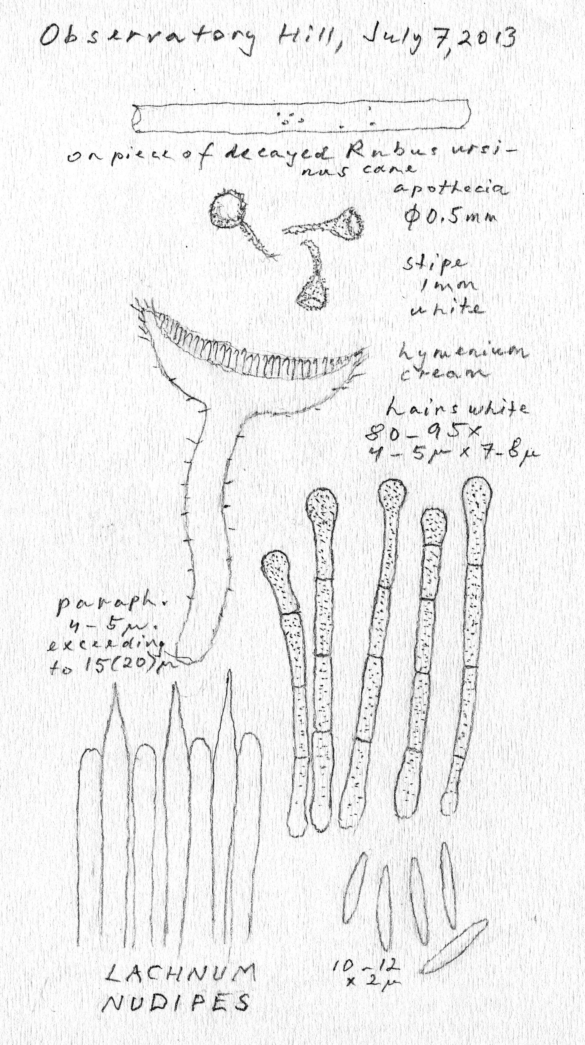 Lachnum nudipes image
