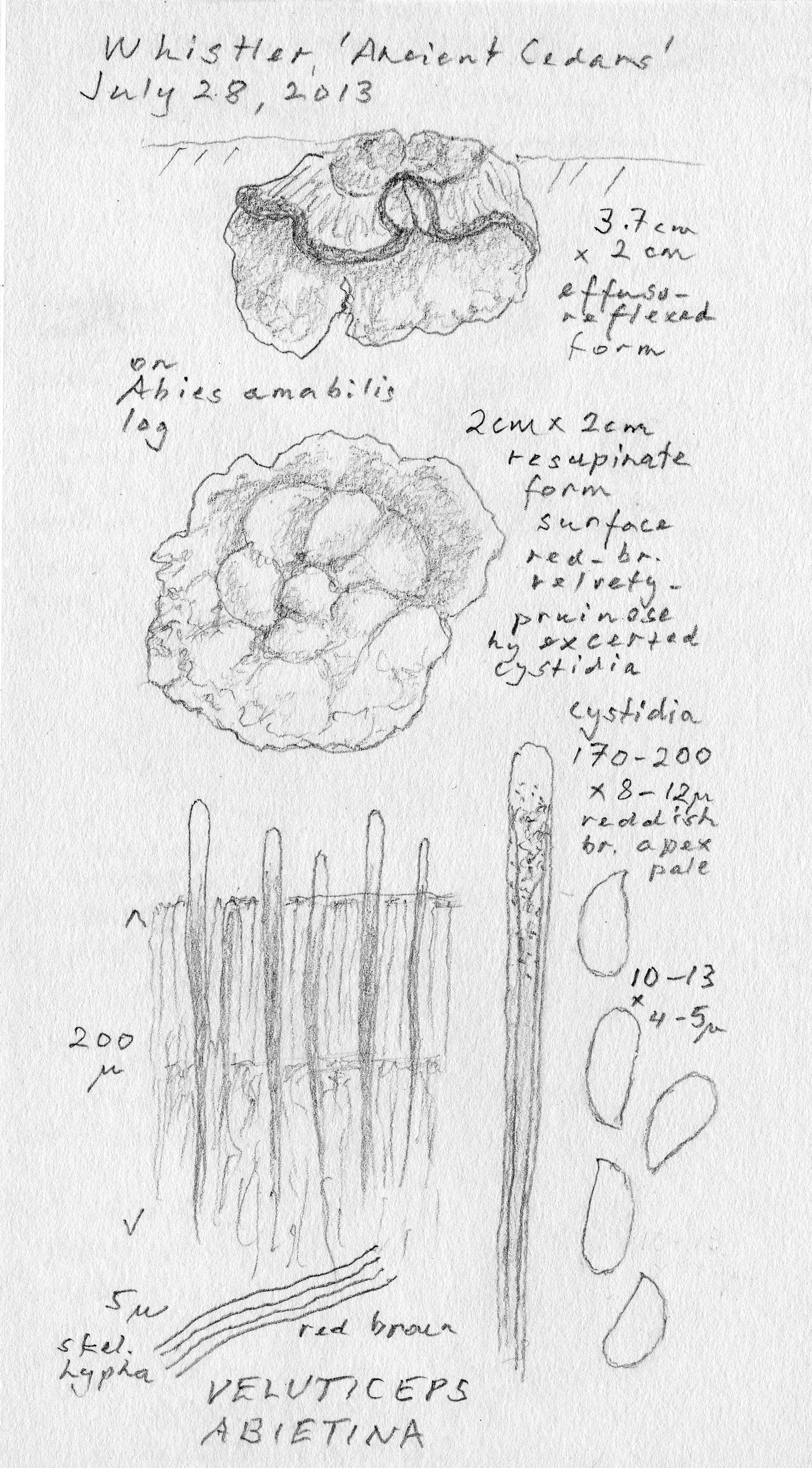 Veluticeps abietina image