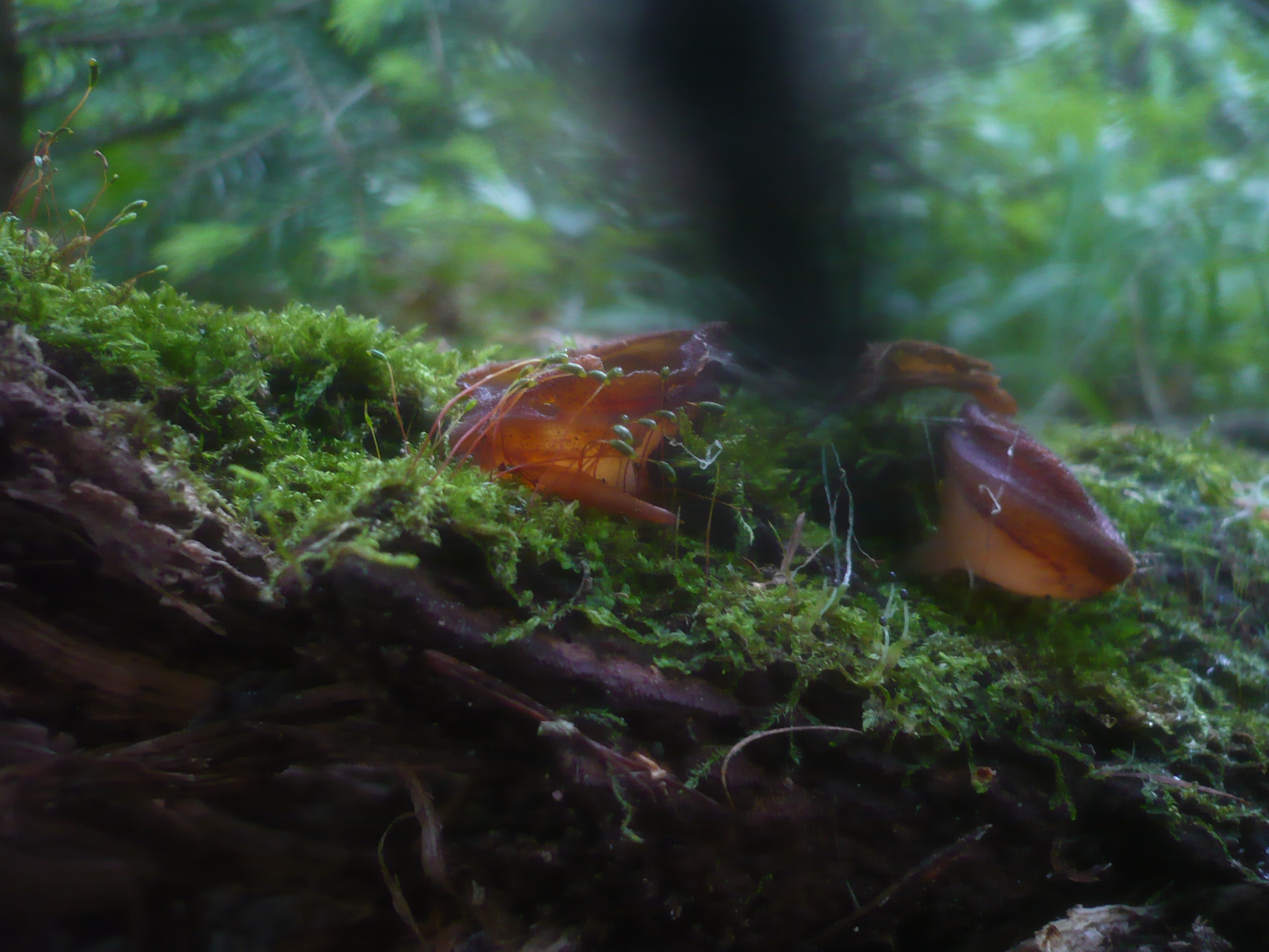 Peziza micropus image