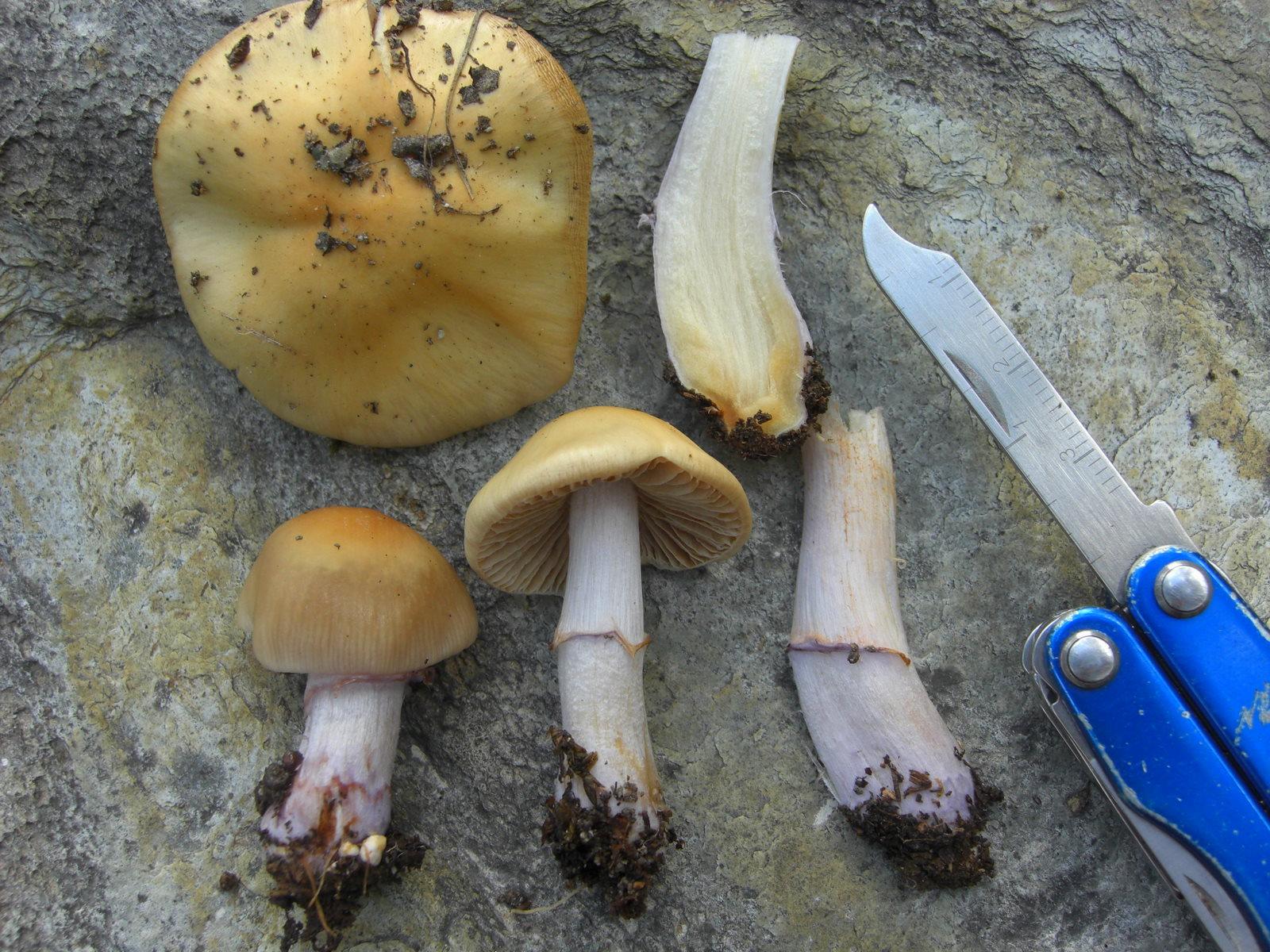 Cortinarius ochraceoazureus image