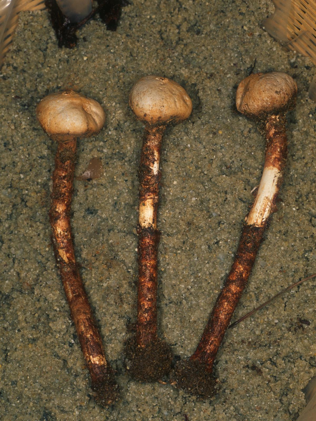 Tulostoma macrocephalum image