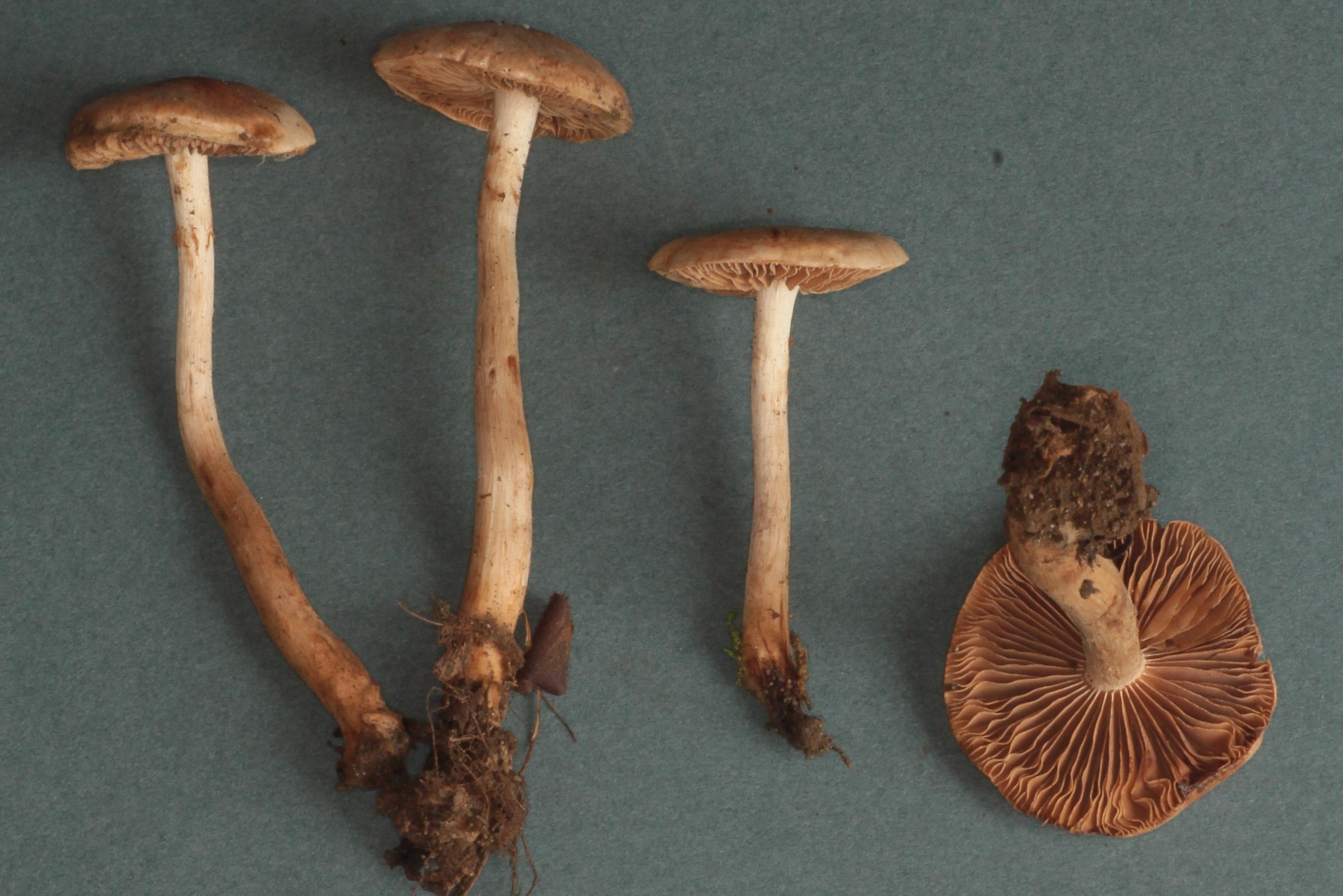Hebeloma candidipes image