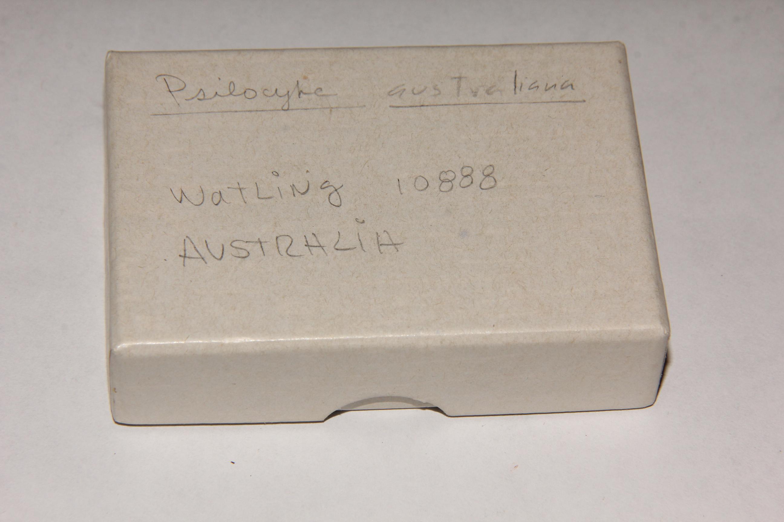 Psilocybe australiana image