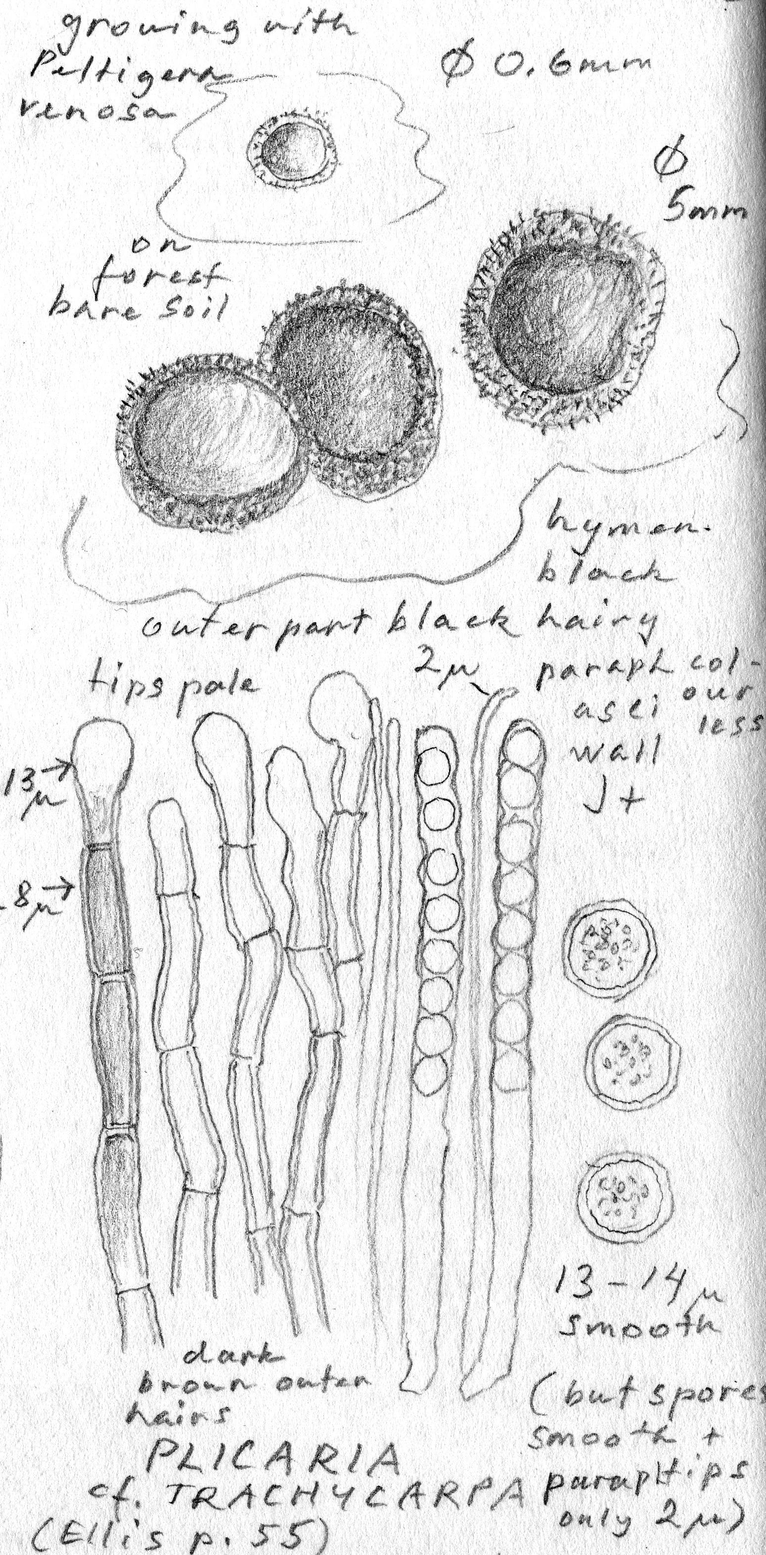 Plicaria trachycarpa image