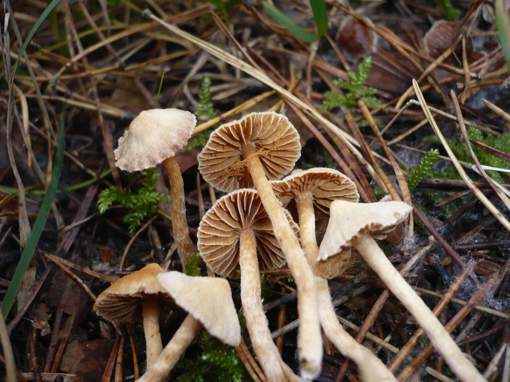 Cortinarius acutovelatus image