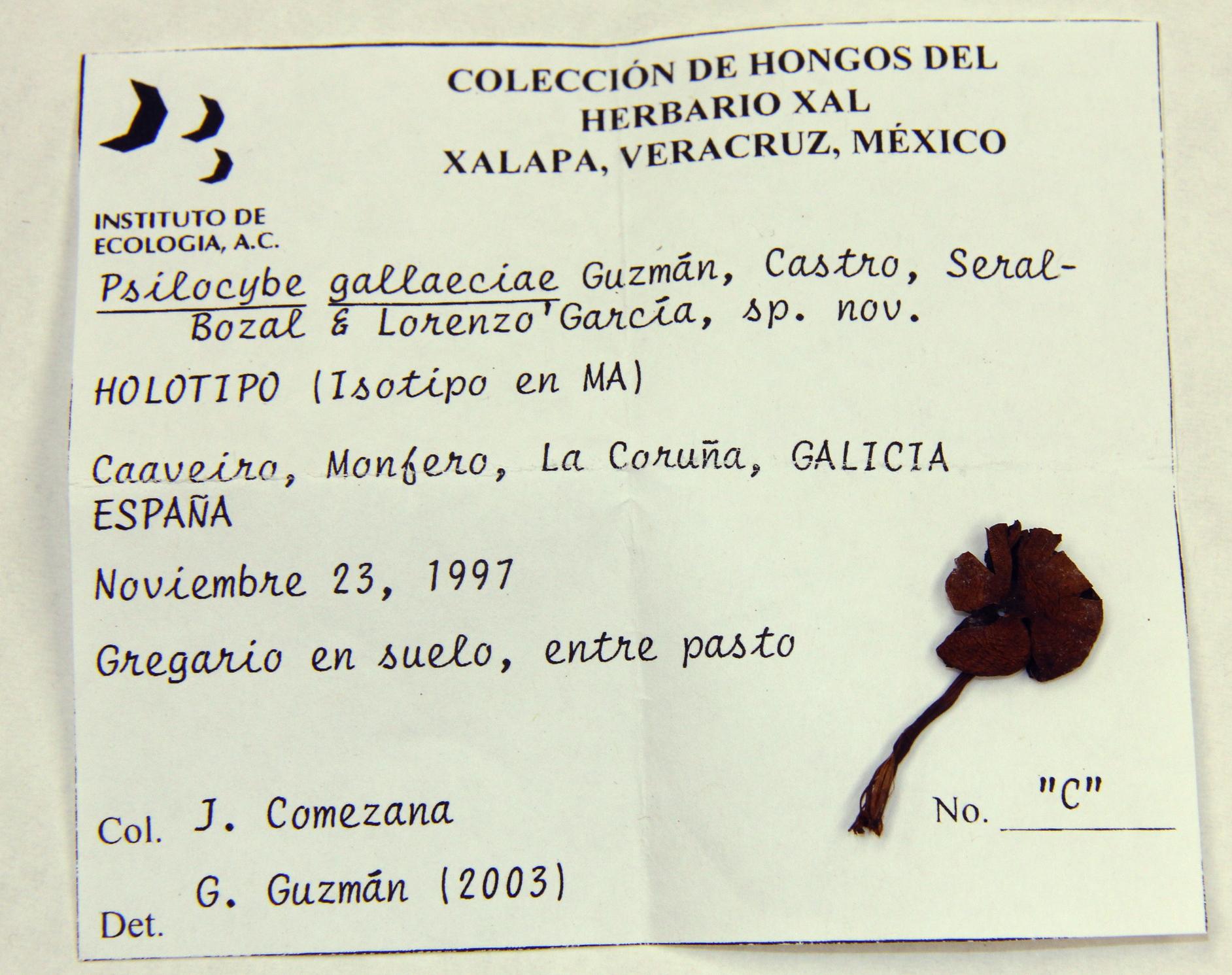 Psilocybe gallaeciae image