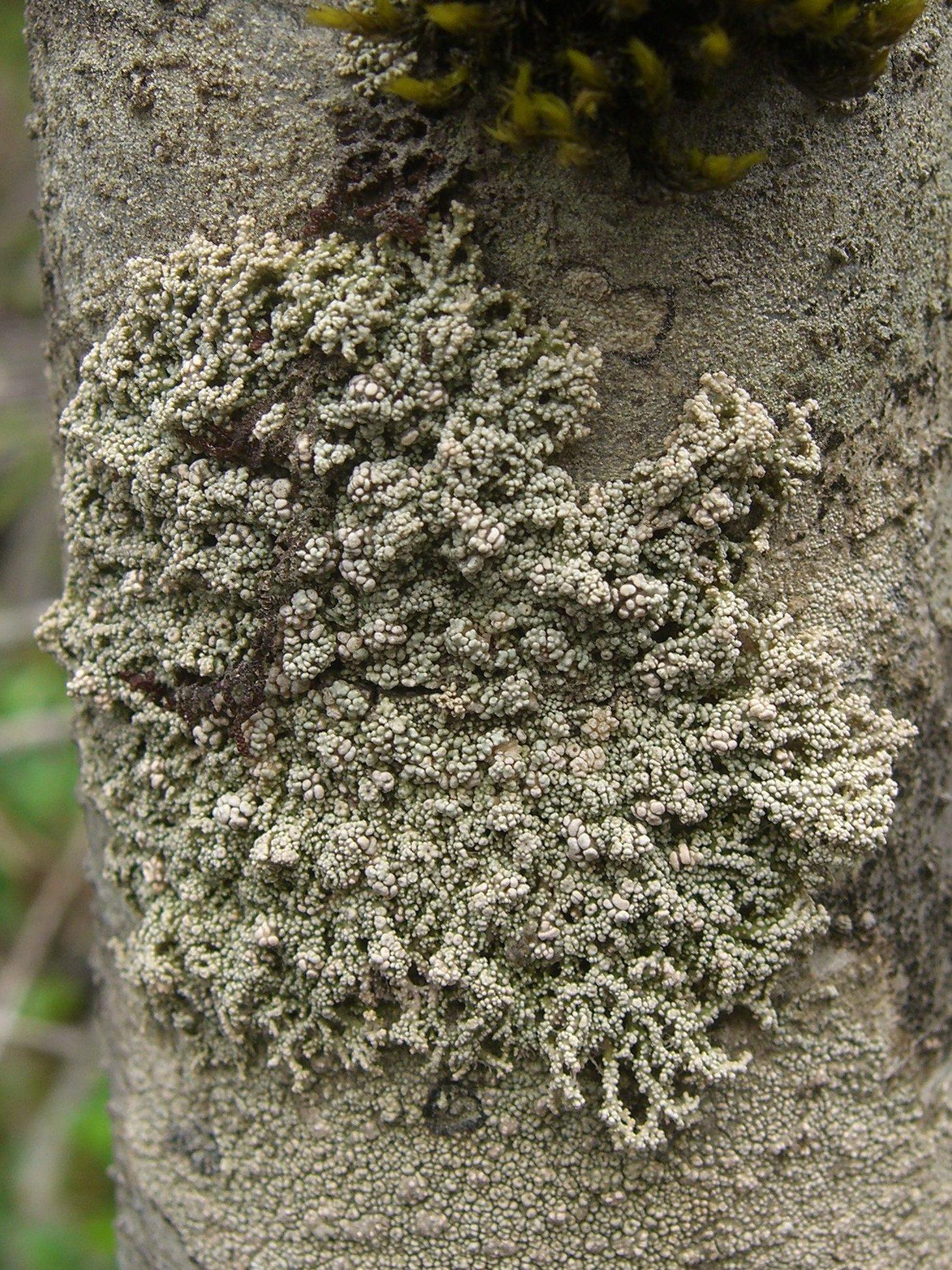 Lepolichen coccophorus image