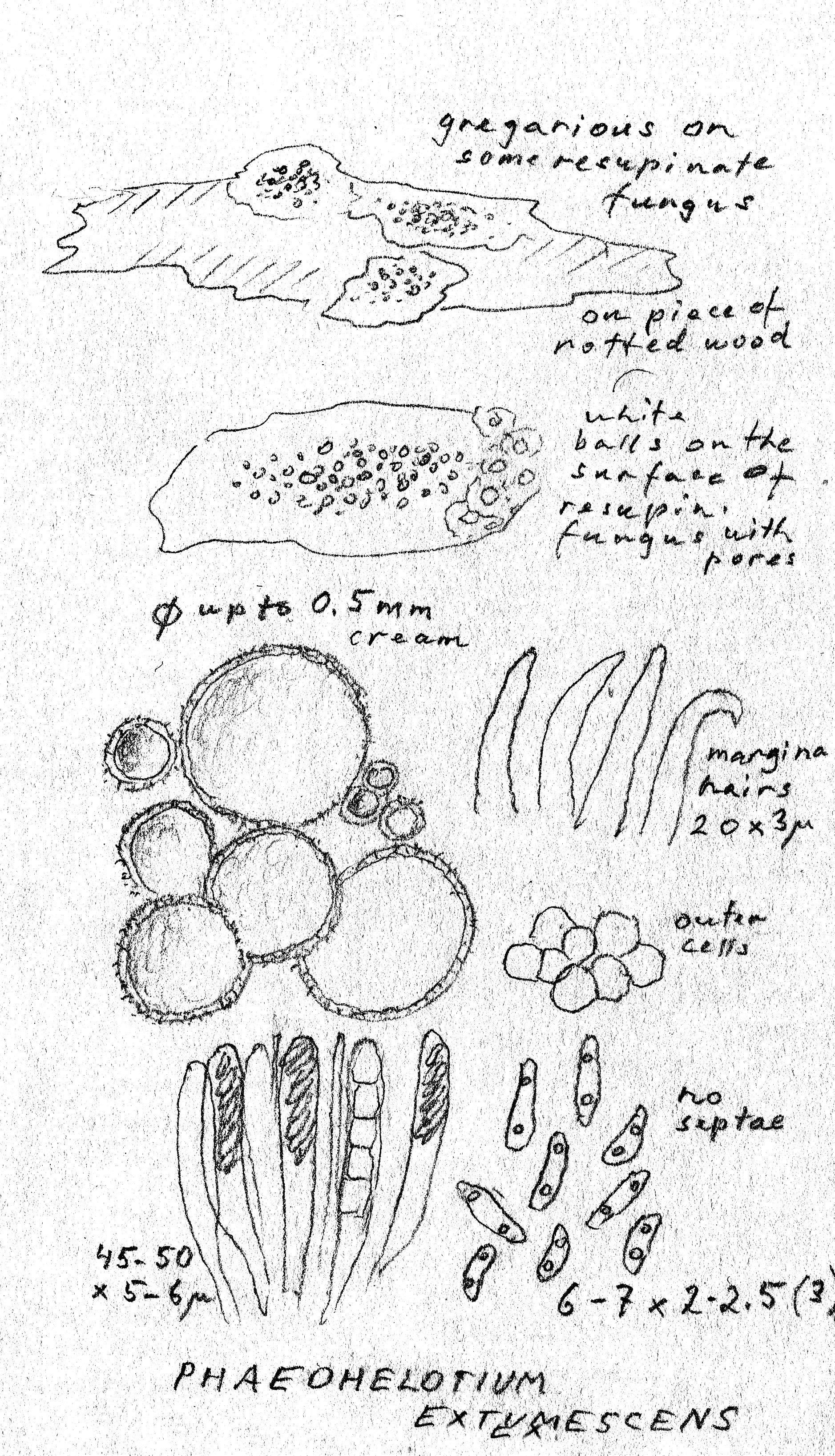 Parorbiliopsis extumescens image