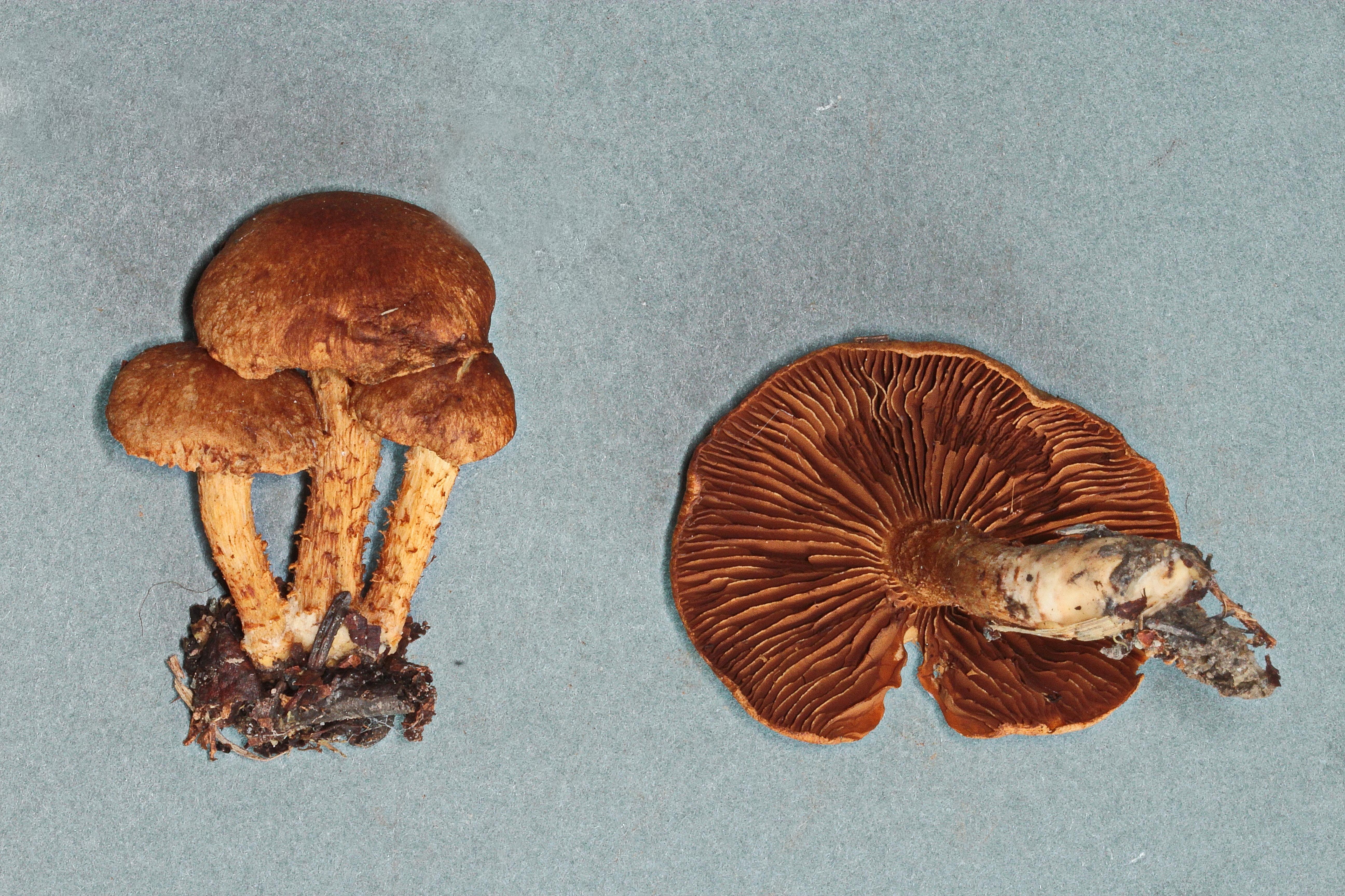 Inocybe terrigena image