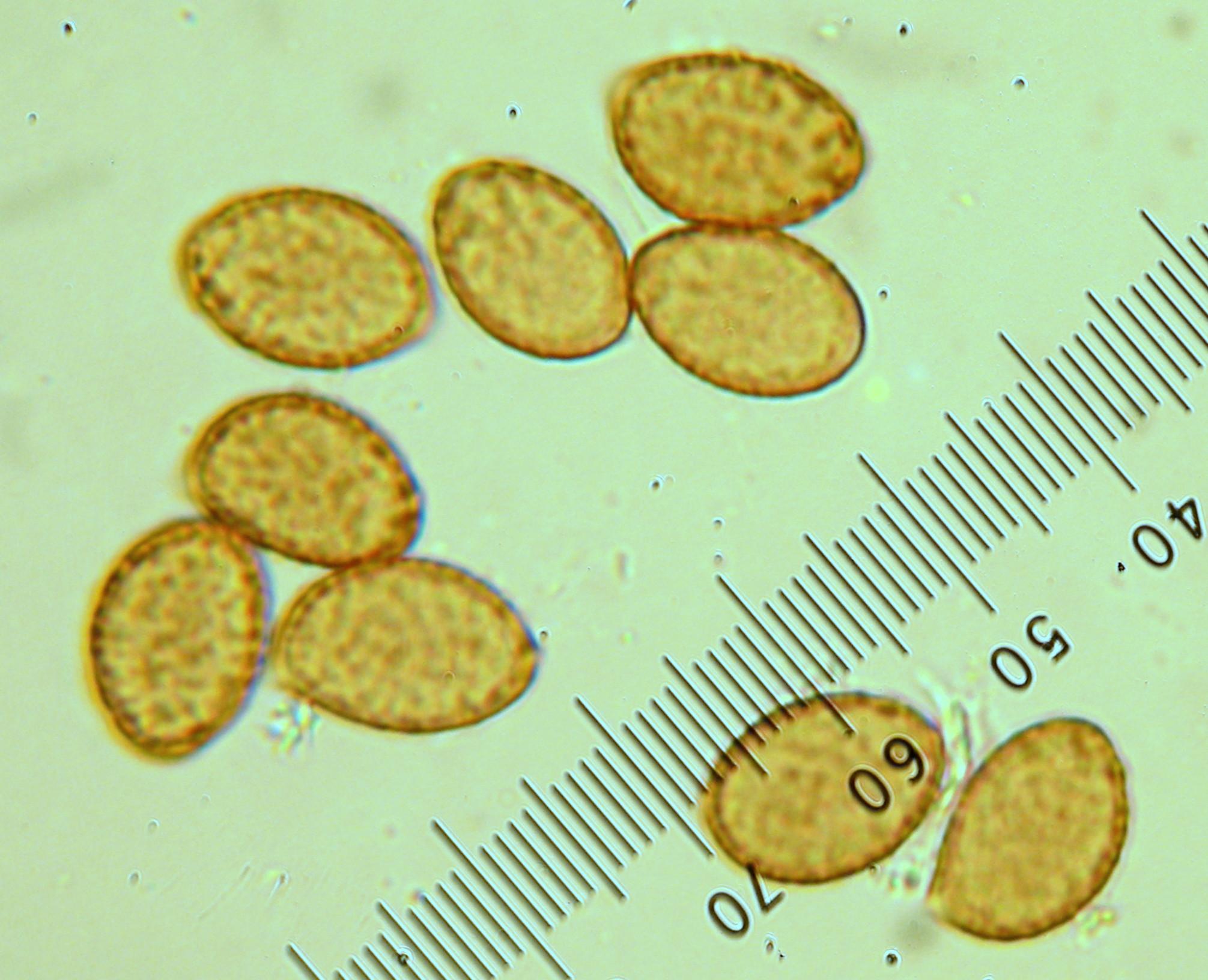 Cortinarius fulvo-ochrascens image