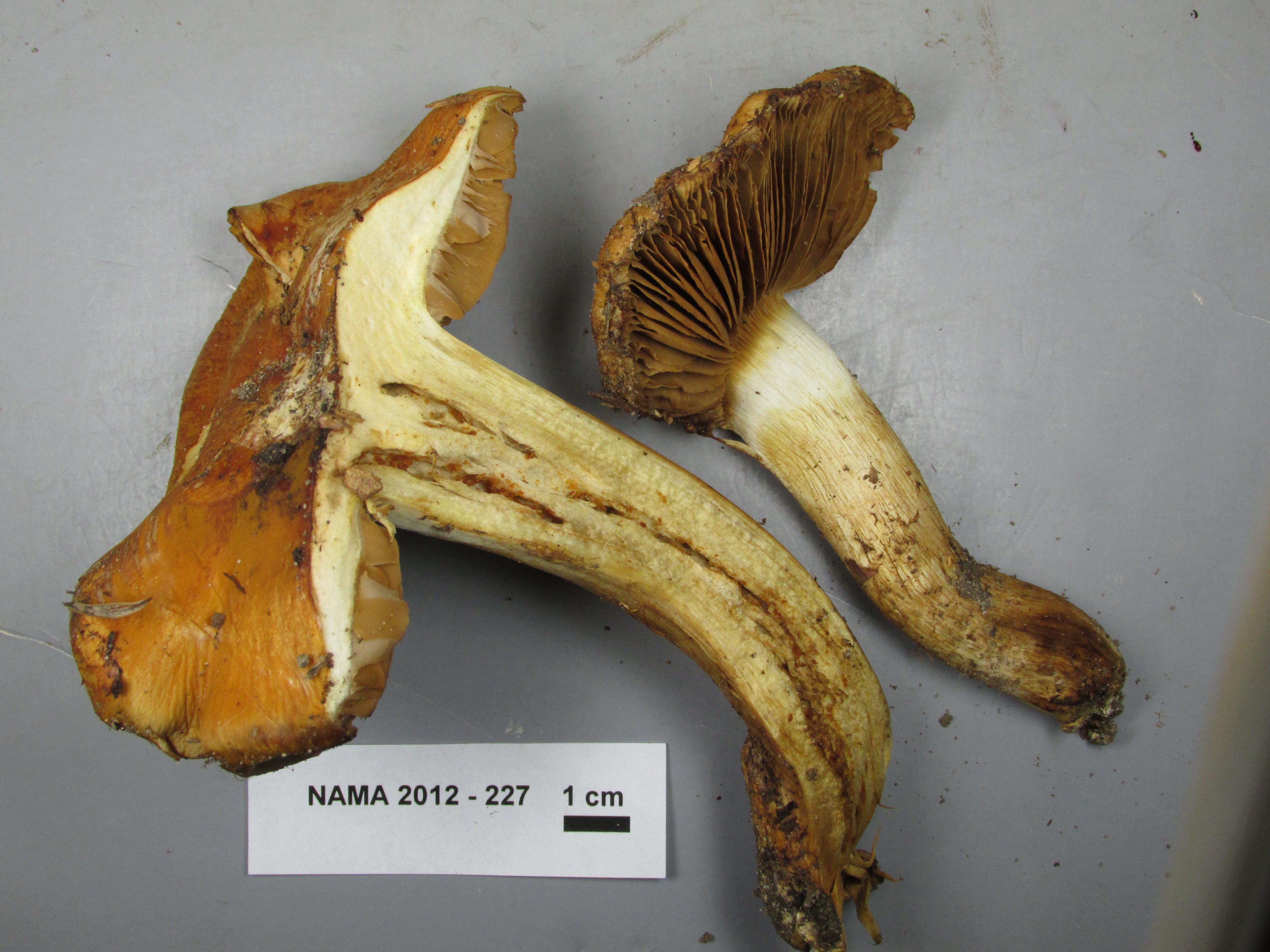 Cortinarius appennini image