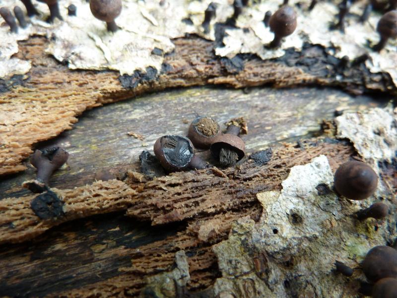 Phylacia poculiformis image