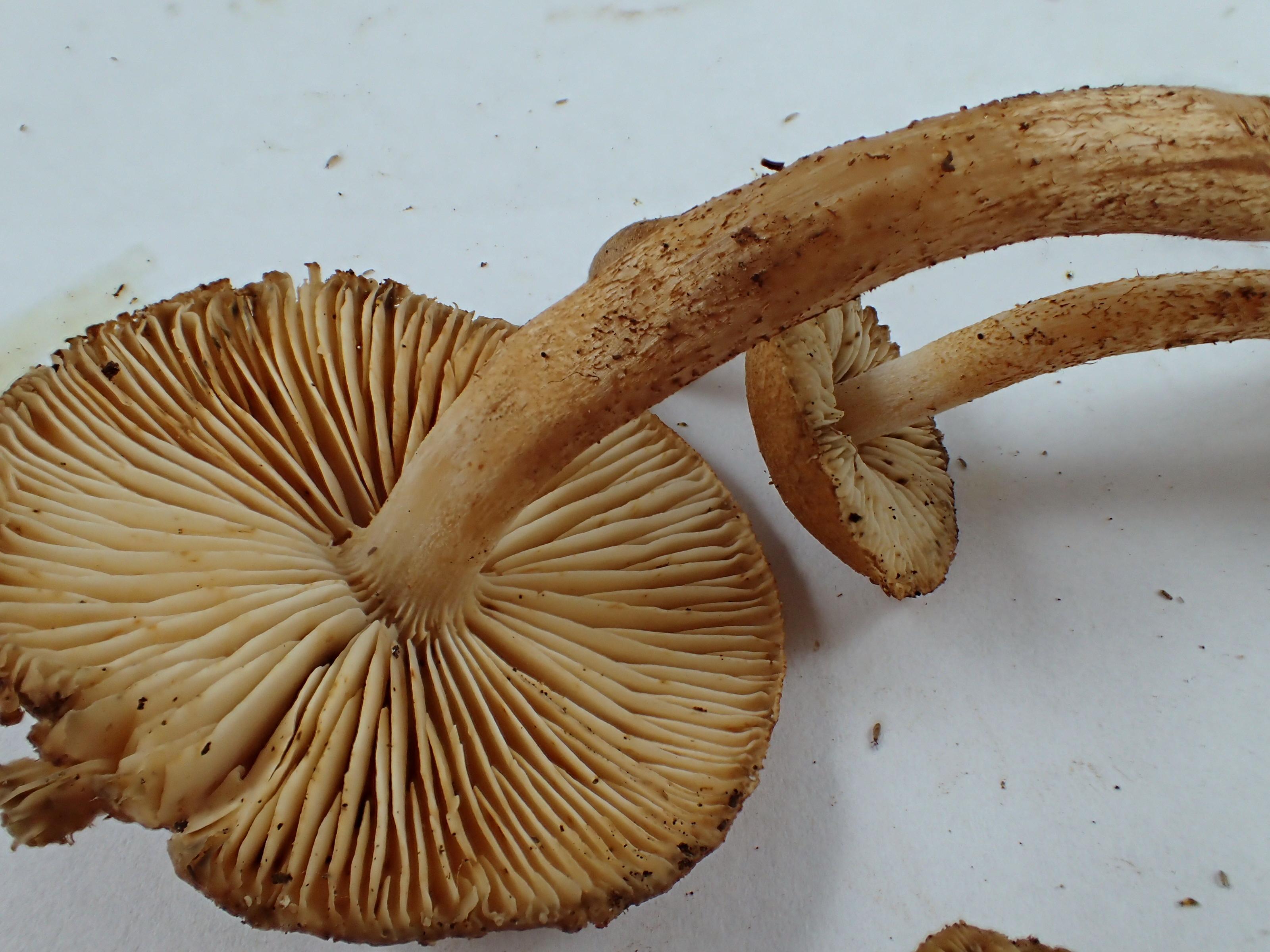 Tricholoma aurantio-olivaceum image