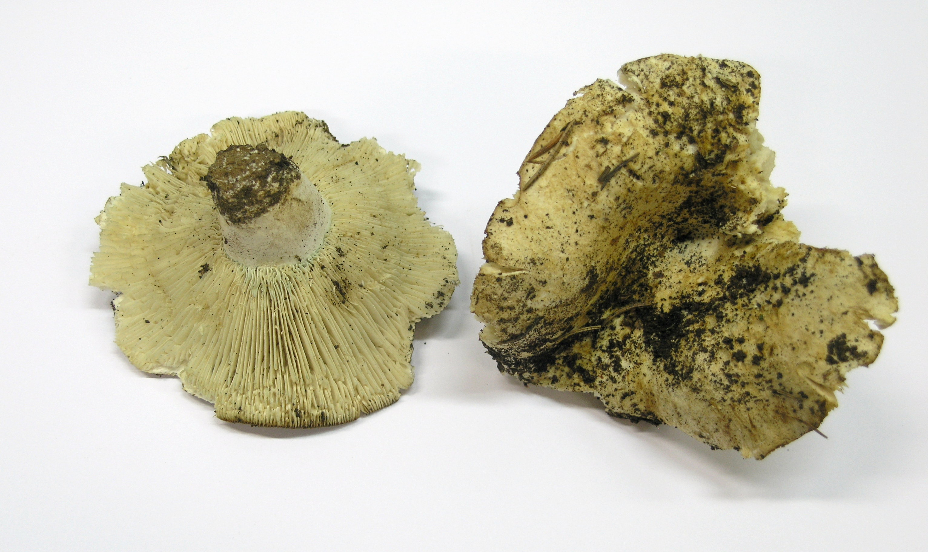 Russula chloroides image