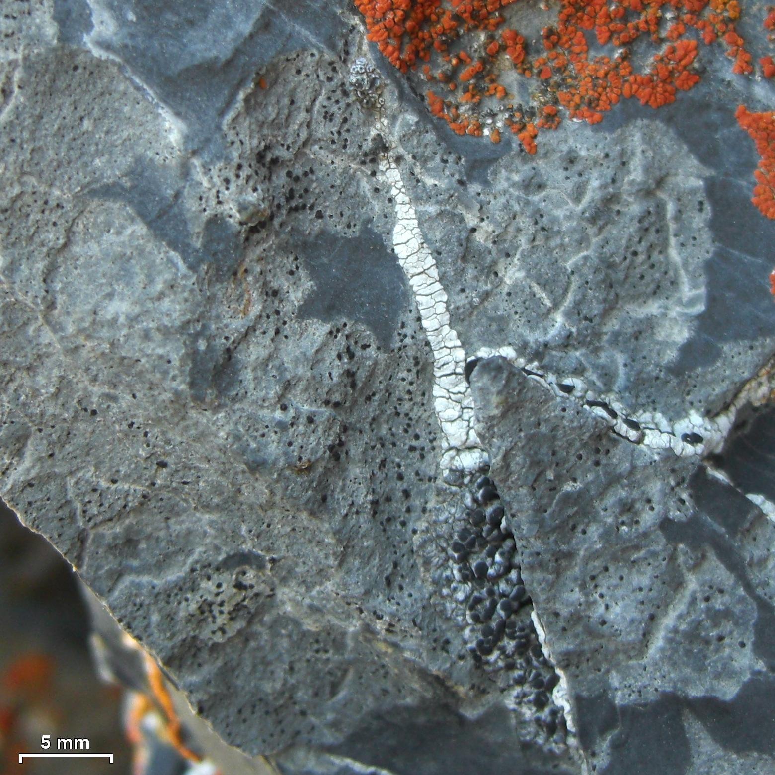 Polysporina image